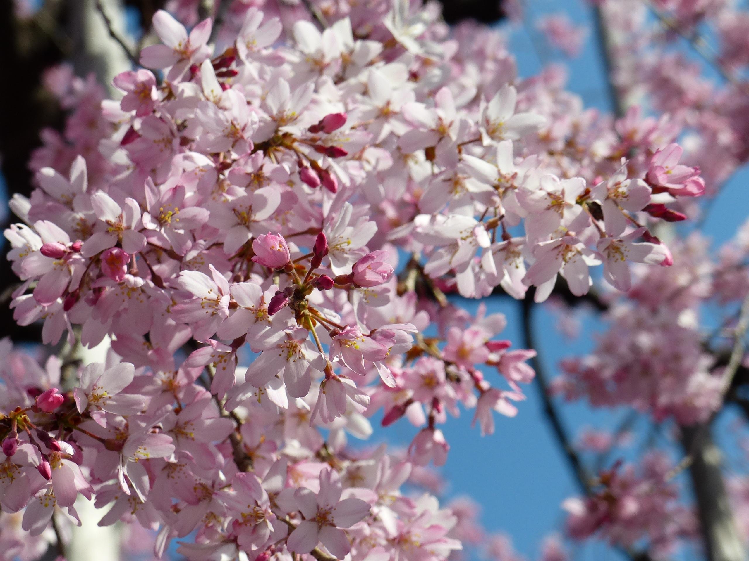 Images gratuites arbre la nature branche ciel blanc feuille p tale aliments printemps - Arbre rose japon ...