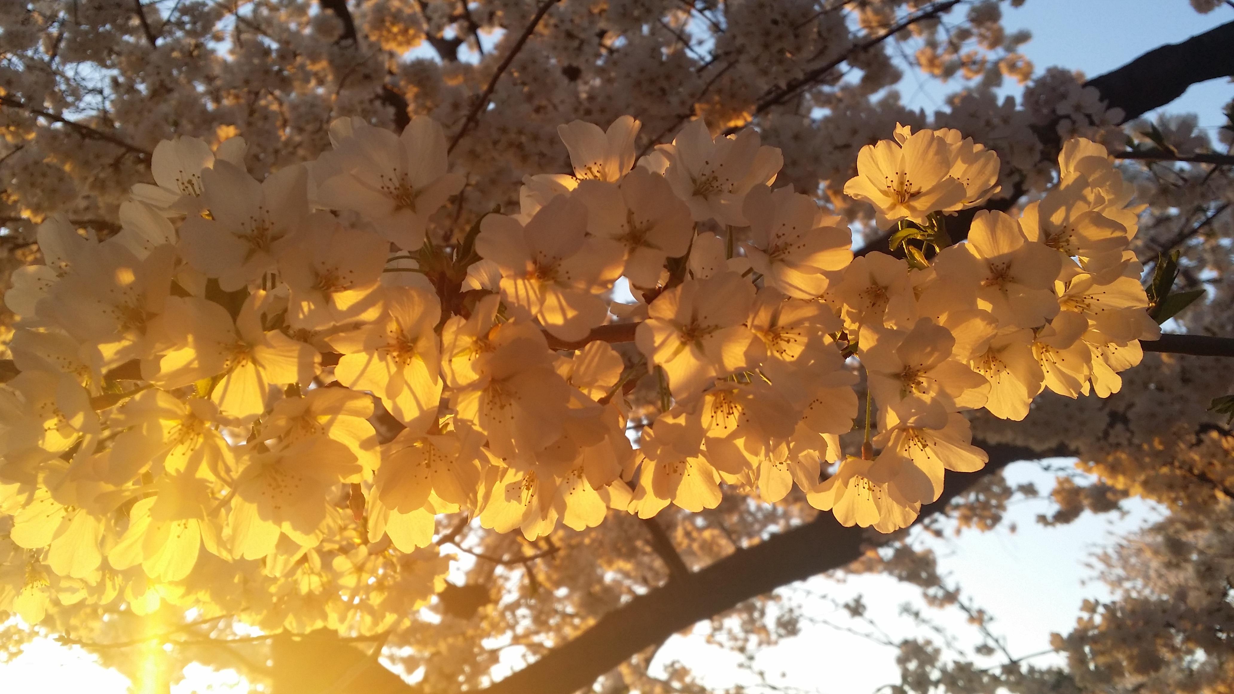 Images gratuites arbre la nature branche fleur plante le coucher du soleil blanc - Arbre rose japon ...