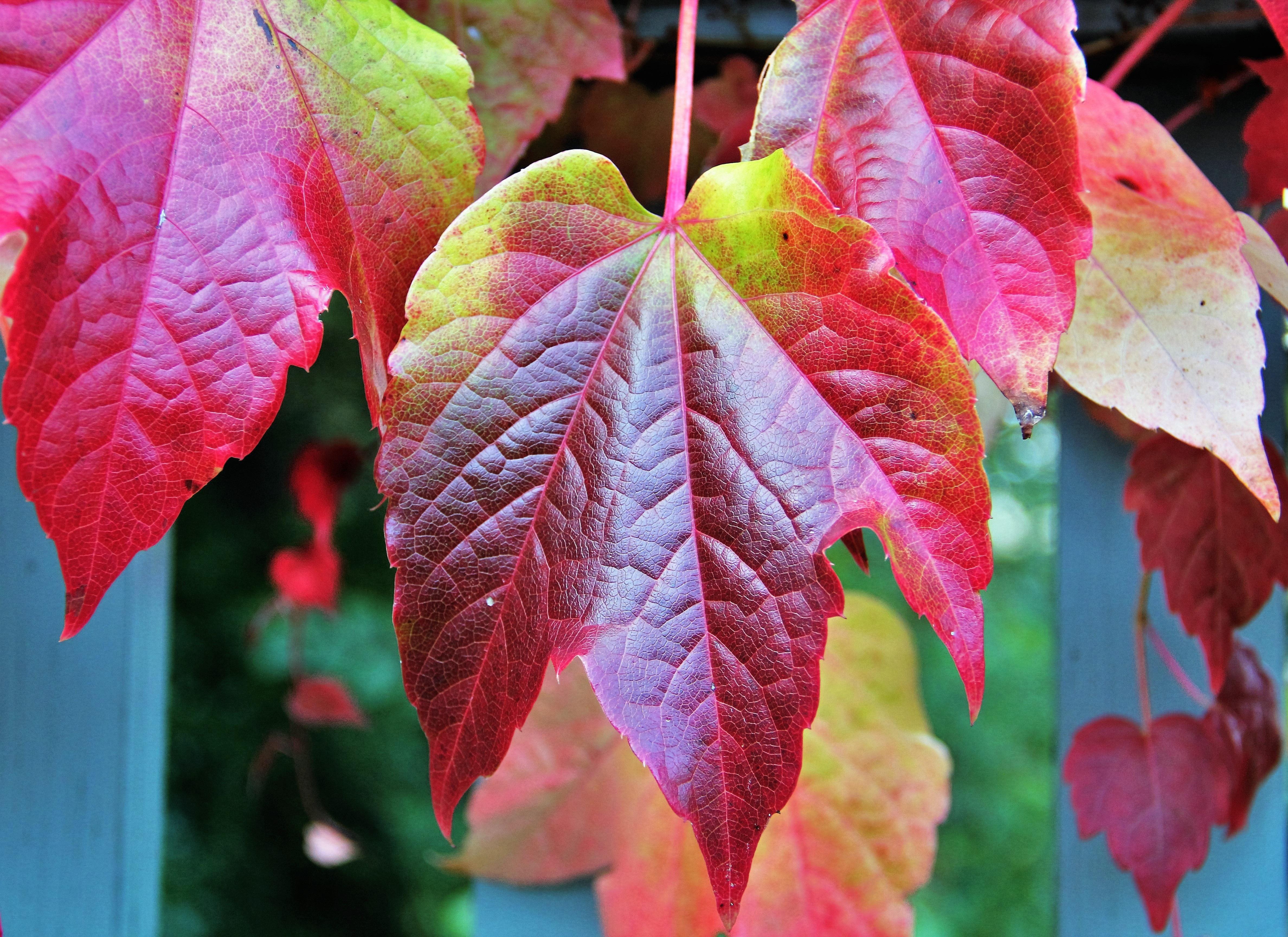 images gratuites arbre la nature branche fleur plante feuille p tale rouge l 39 automne. Black Bedroom Furniture Sets. Home Design Ideas