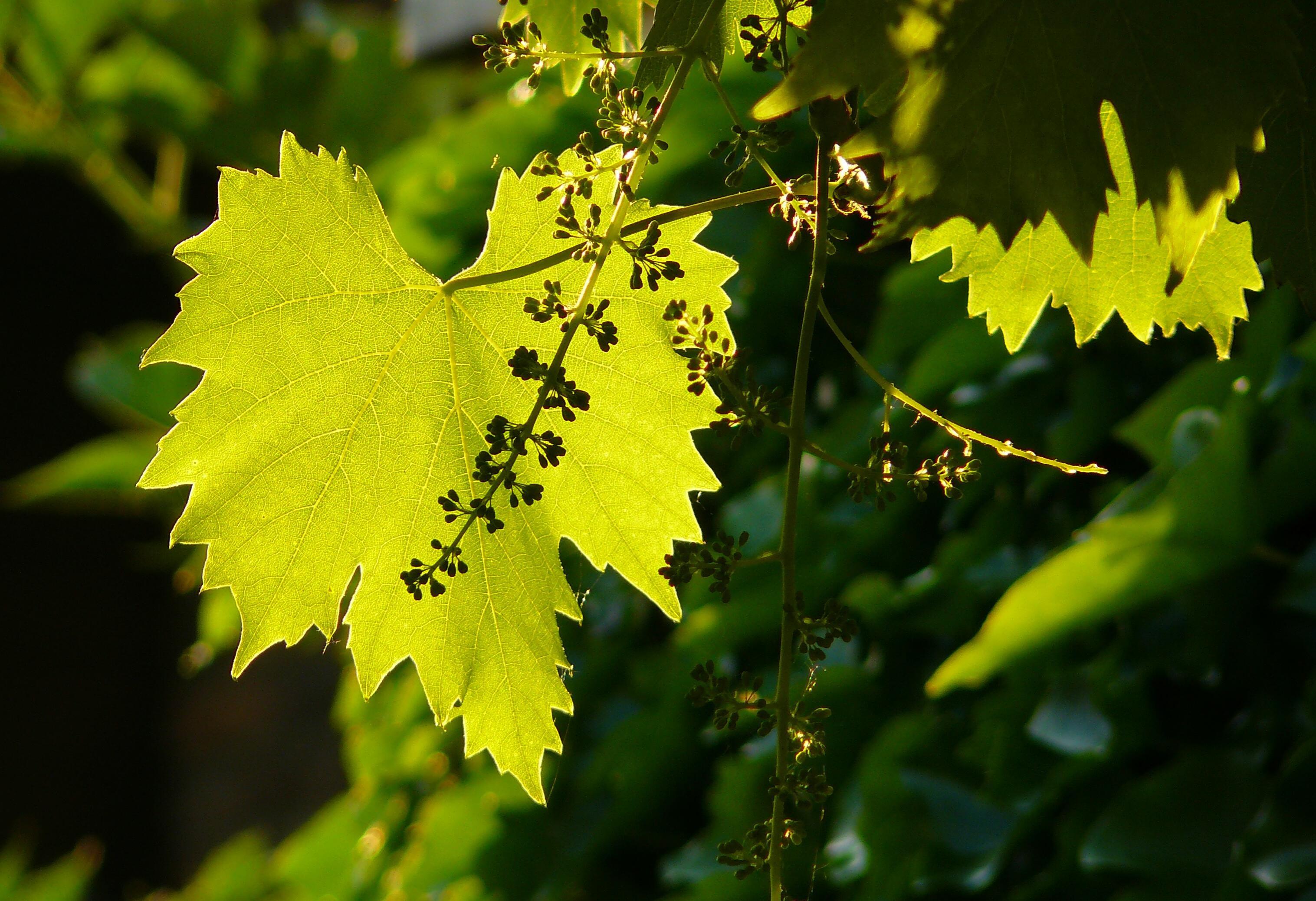Free Images Nature Branch Blossom Vine Wine Sunlight Leaf