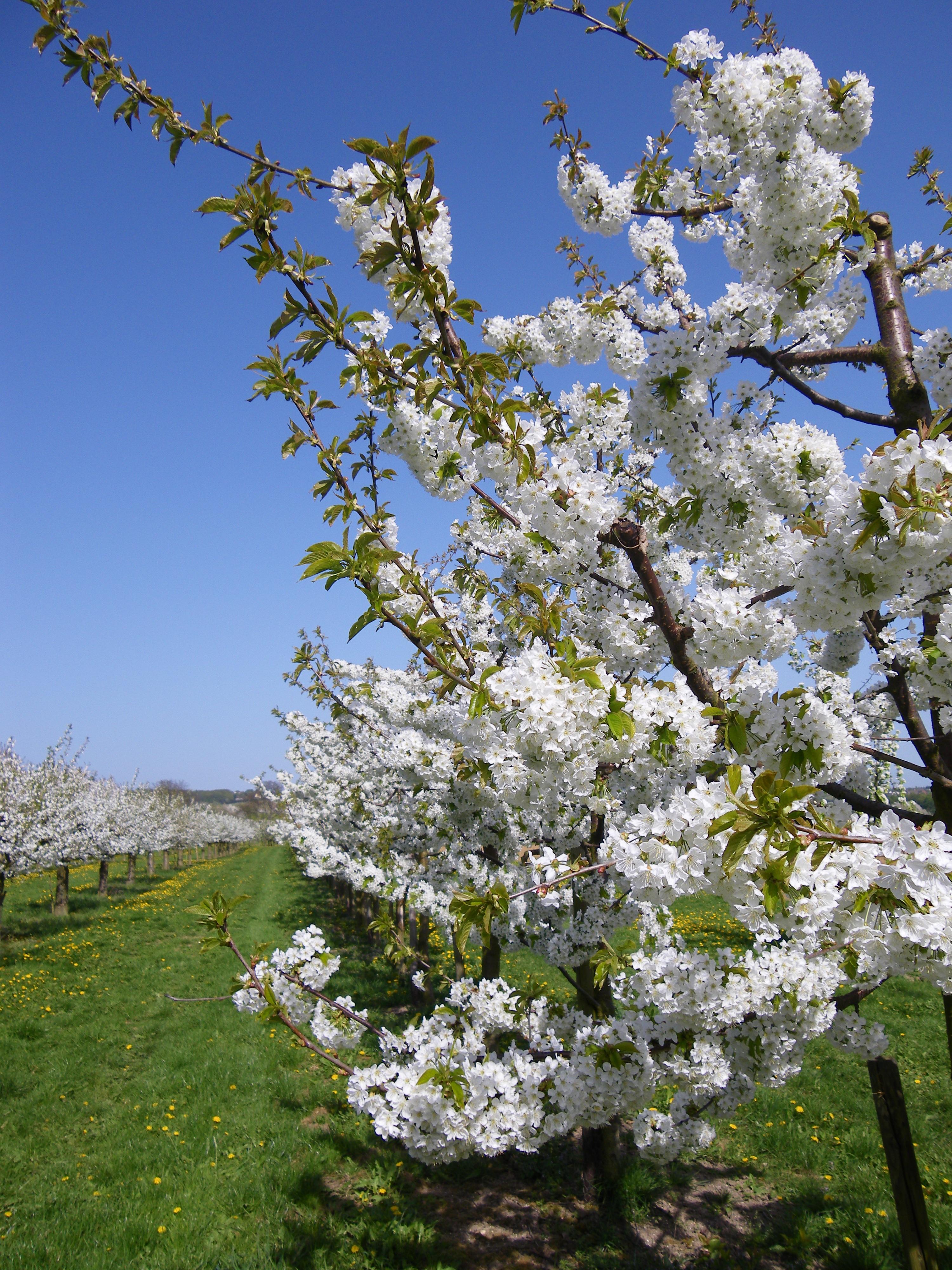 Immagini belle natura ramo fiorire bianca fioritura for Pianta di ciliegio