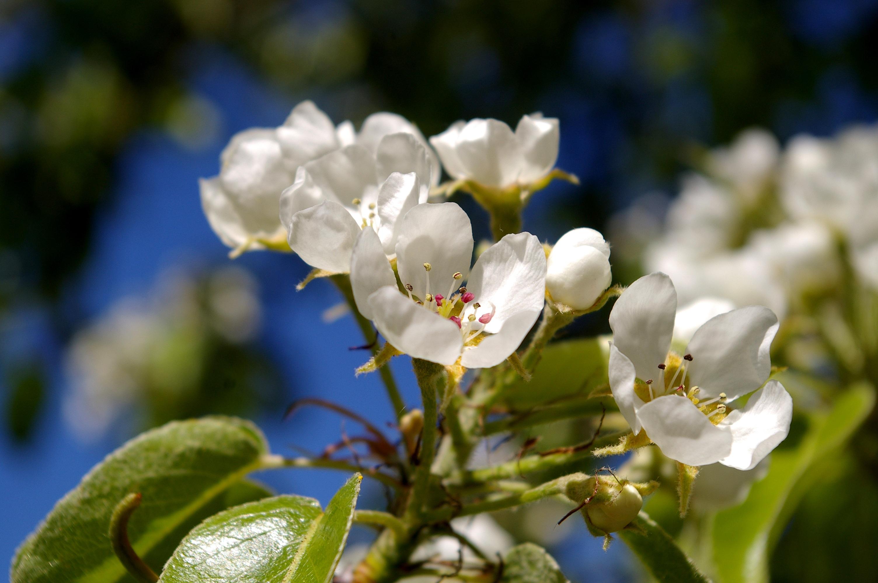 images gratuites la nature branche blanc p tale floraison vert produire botanique. Black Bedroom Furniture Sets. Home Design Ideas