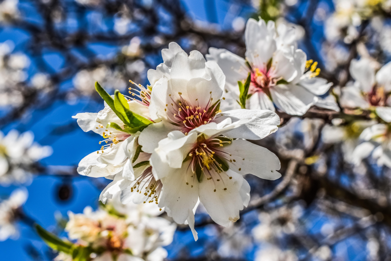 Fotoğraf Ağaç Doğa şube çiçek Beyaz Taçyaprağı Gıda Bahar