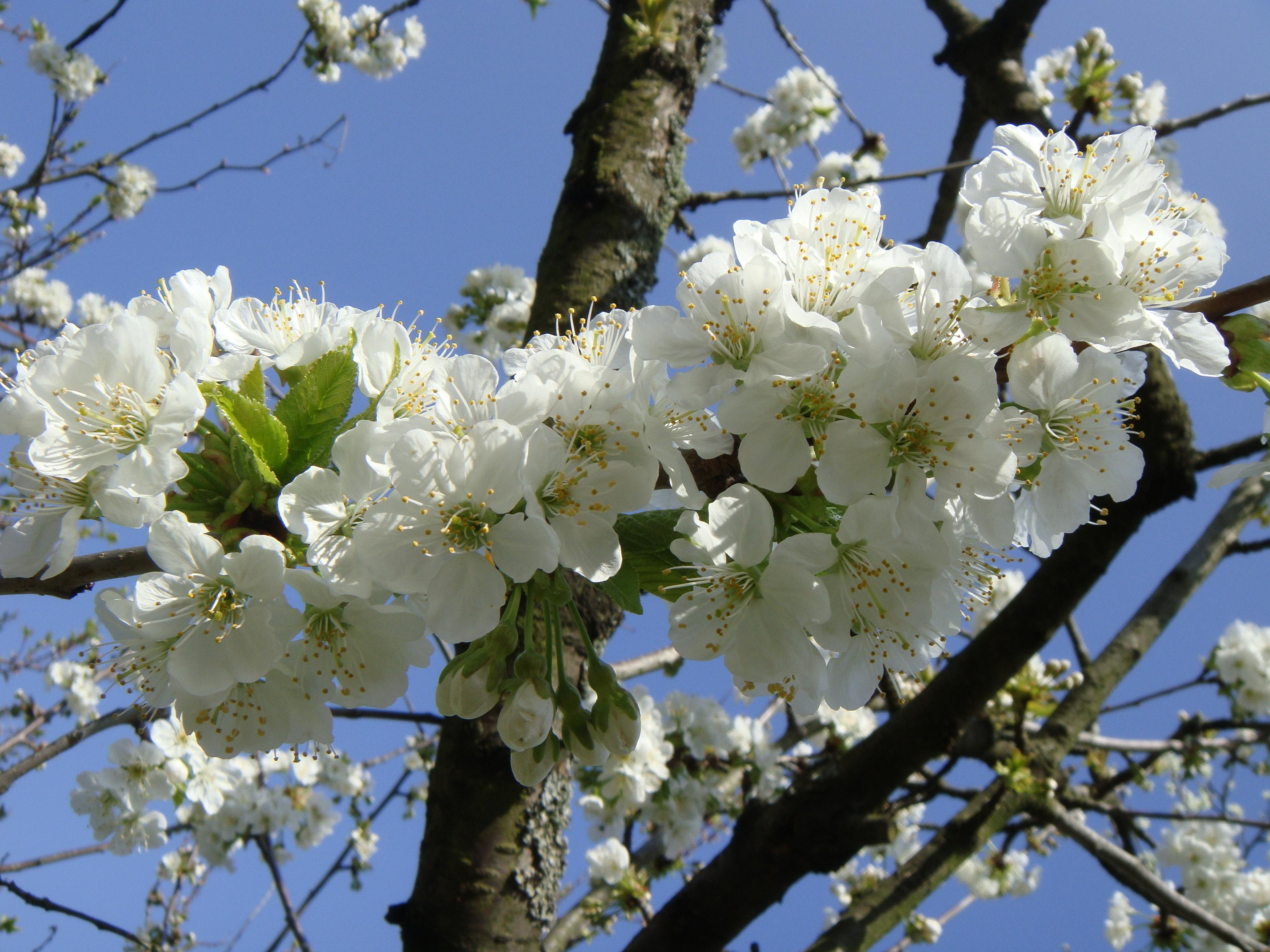 фотографии цветущих фруктовых деревьев нему предъявляются