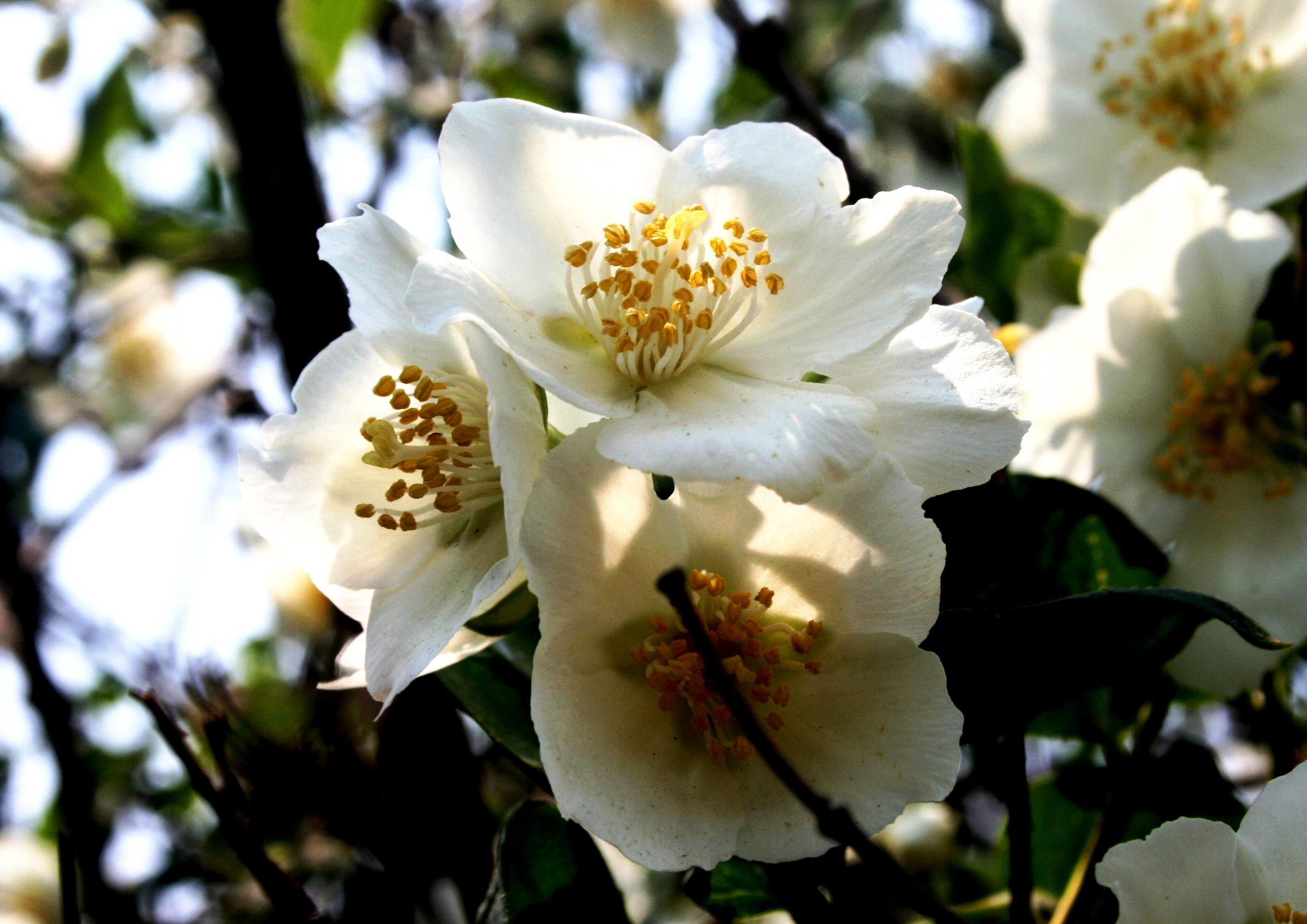 images gratuites : arbre, la nature, branche, fleur, blanc, fruit