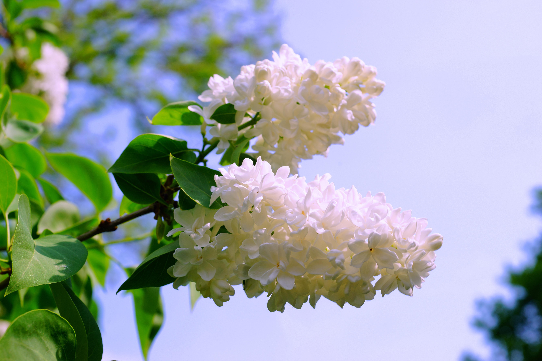 Free Images Tree Nature Blossom Leaf Bloom Decoration Spring