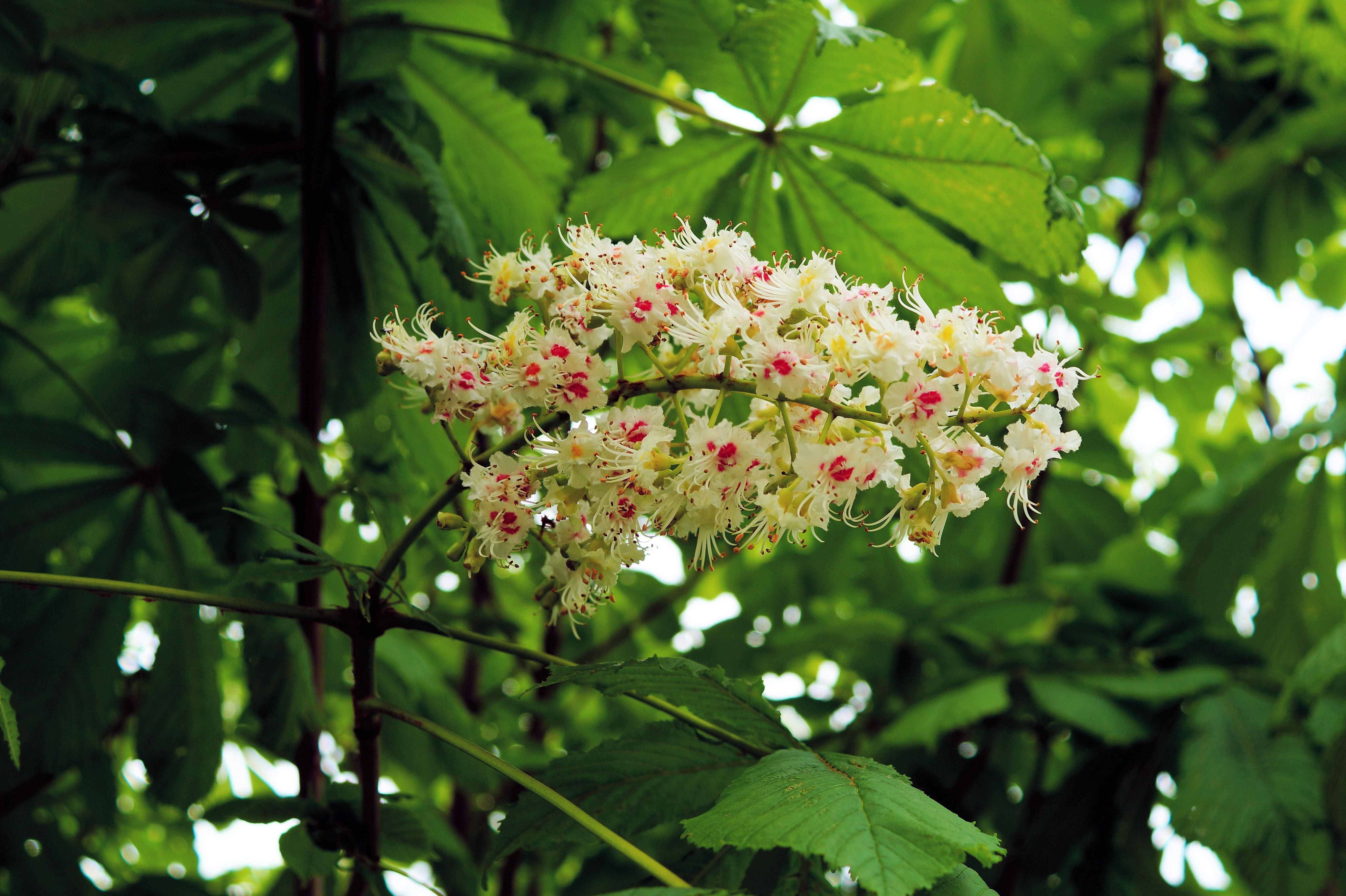 Images gratuites arbre la nature branche fleur blanc for Arbres a feuilles persistantes