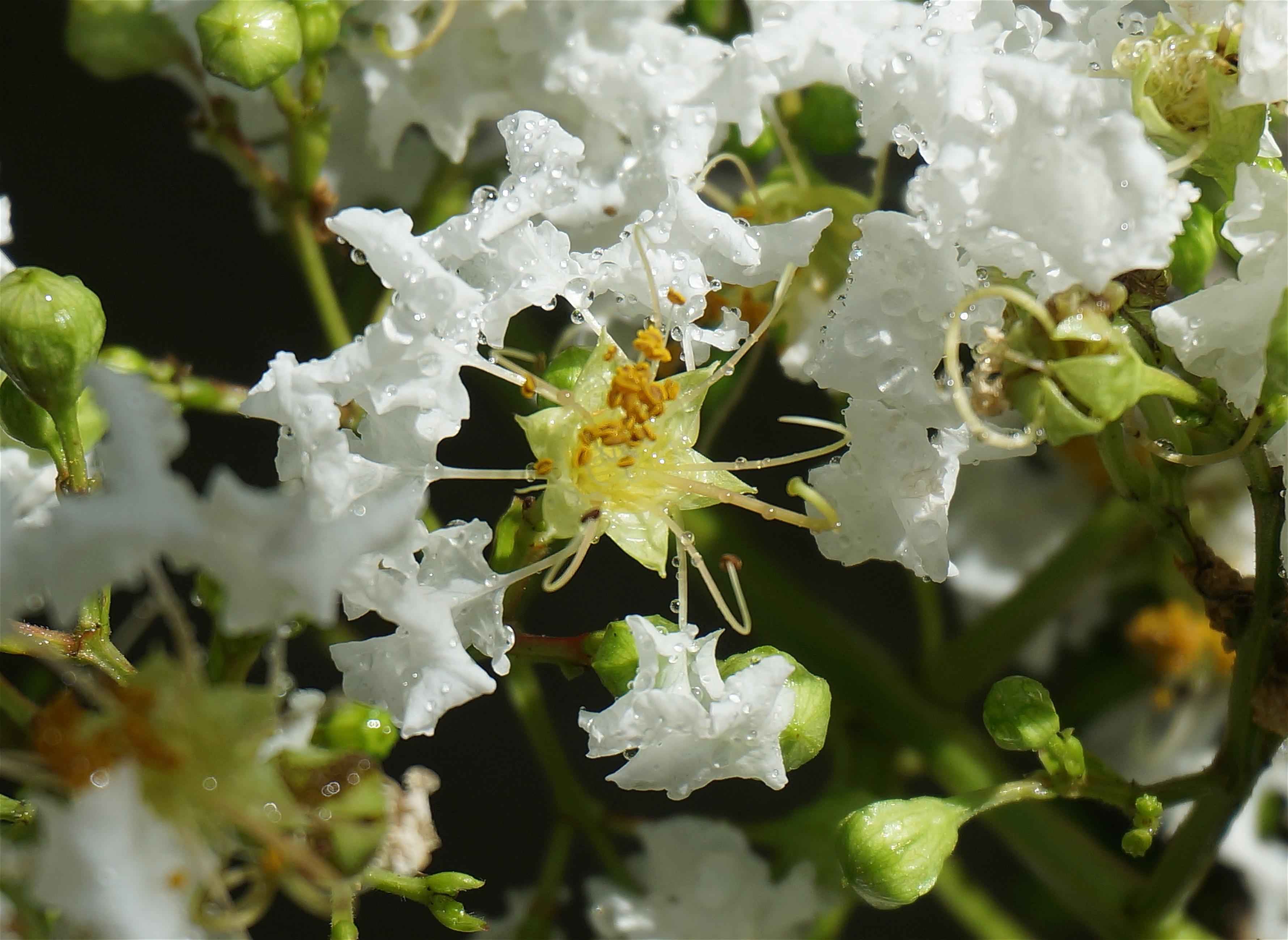 banco de imagens rvore natureza ramo flor plantar branco folha flor vero comida verde produzir botnica jardim flora flores silvestres