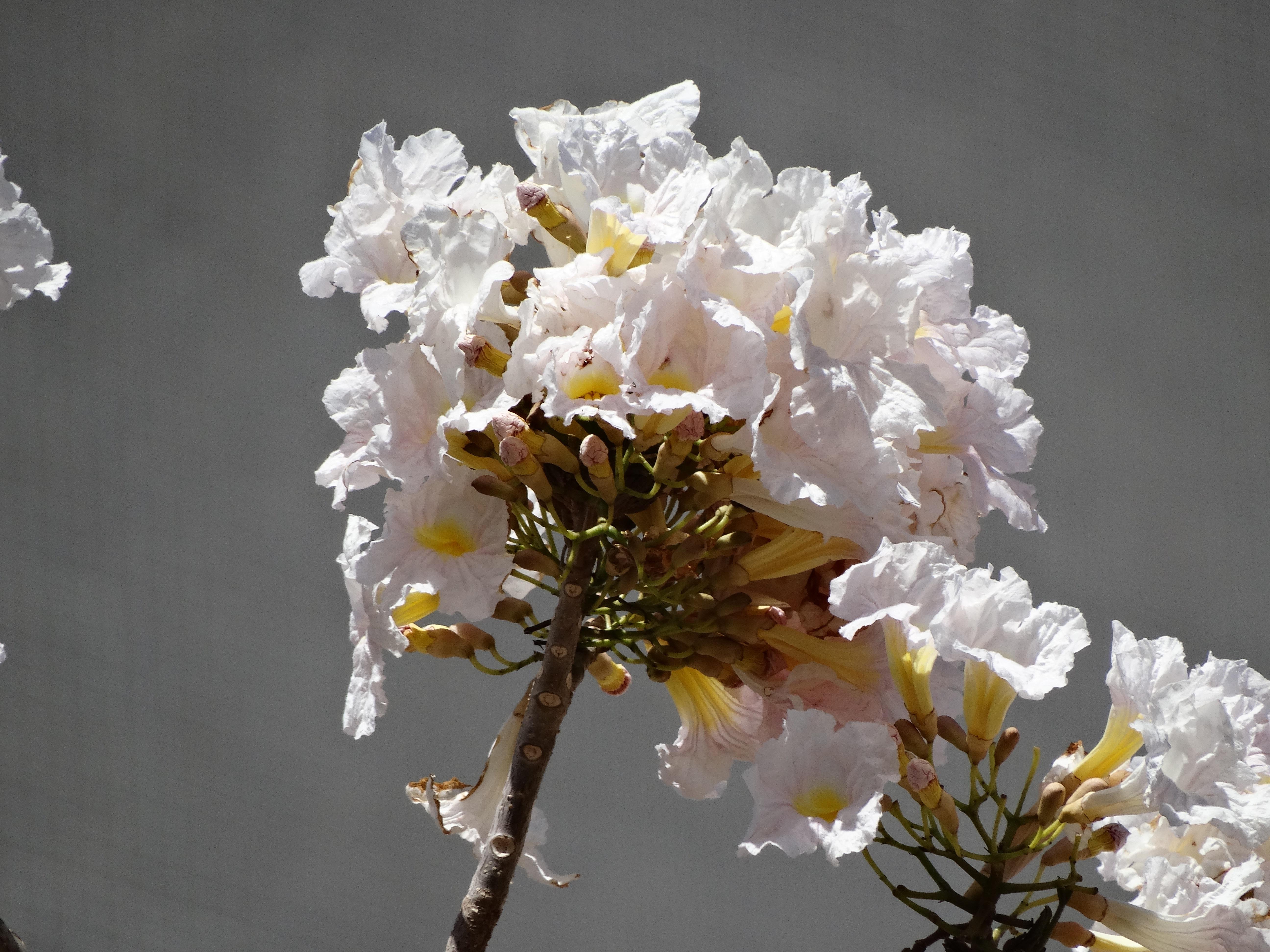 Images Gratuites Arbre La Nature Branche Blanc Feuille Petale