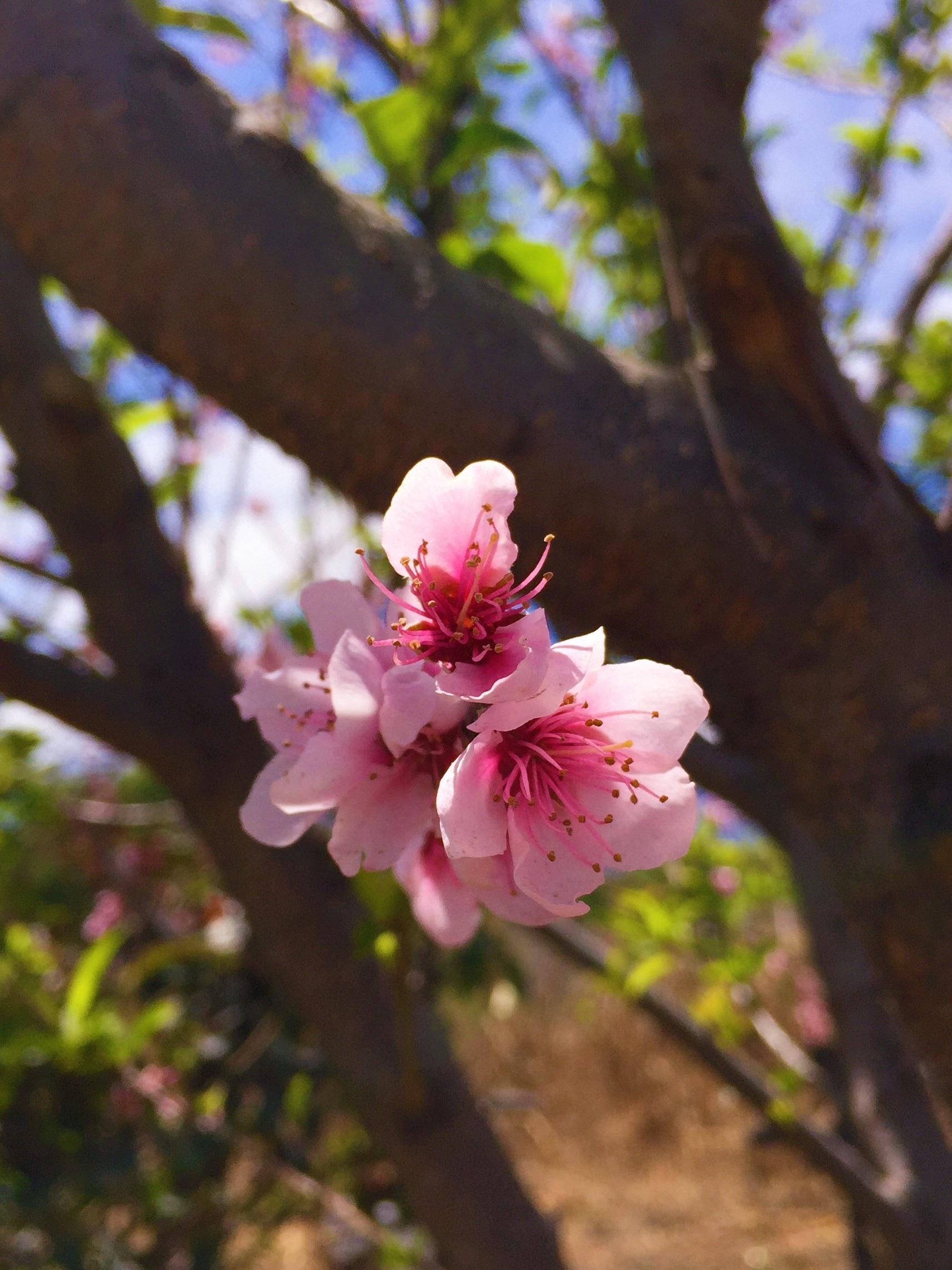 menghasilkan botani taman berwarna merah muda flora bunga liar bunga sakura bunga bunga kelopak belukar rosa memangkas bunga merah muda