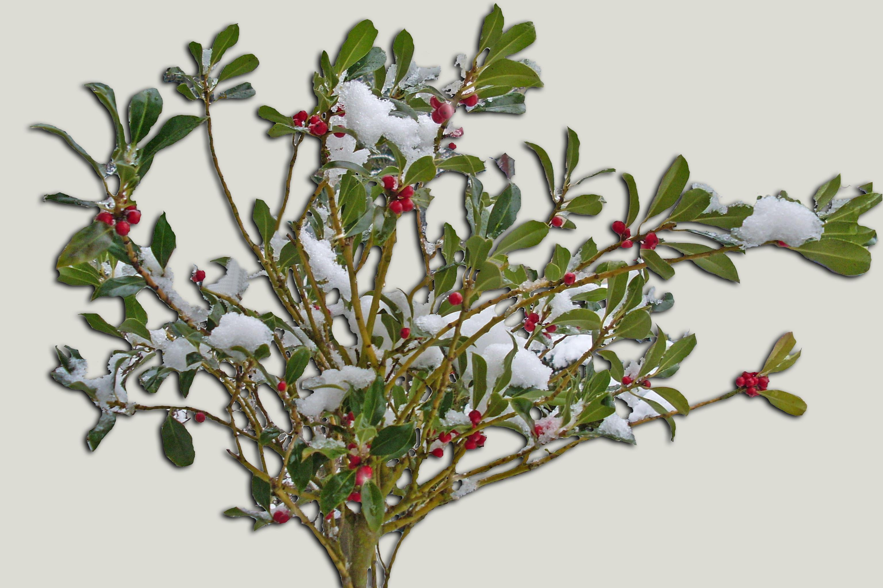 images gratuites arbre la nature branche fleur neige hiver buisson aliments rouge. Black Bedroom Furniture Sets. Home Design Ideas
