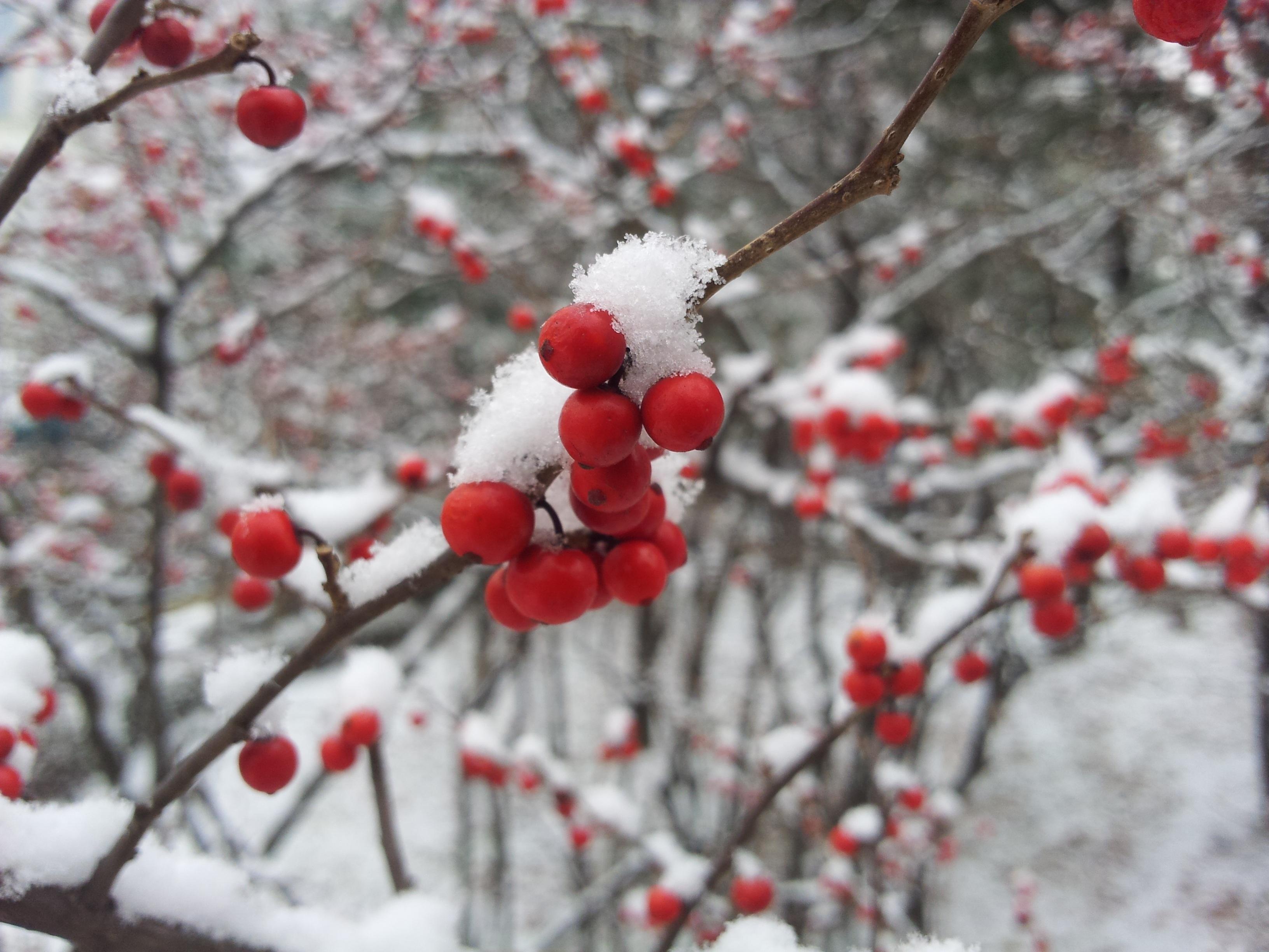 Images gratuites arbre la nature branche fleur neige hiver plante feuille gel - Arbuste fleur rouge printemps ...