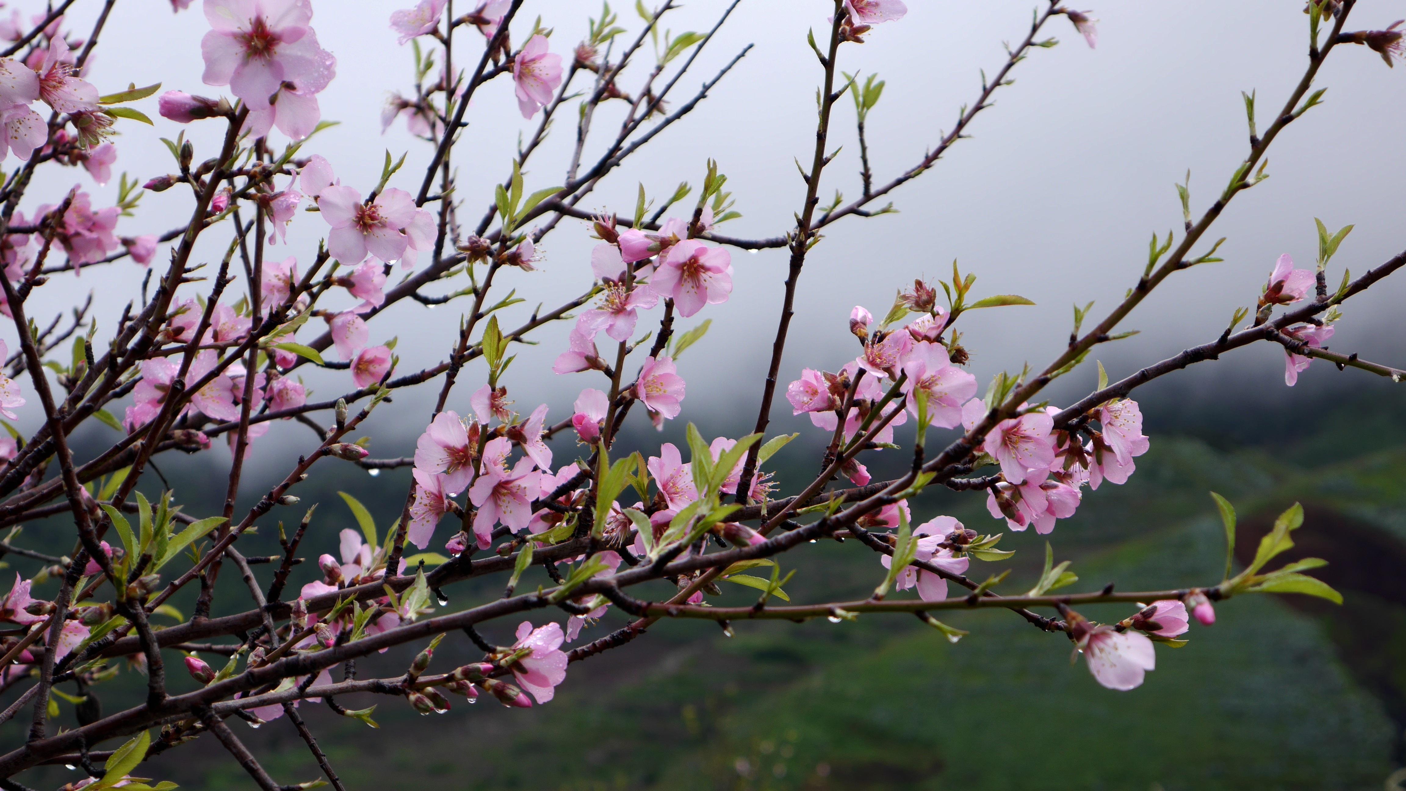 kostenlose foto baum natur ast bl hen winter blume fr hling produzieren botanik rosa. Black Bedroom Furniture Sets. Home Design Ideas