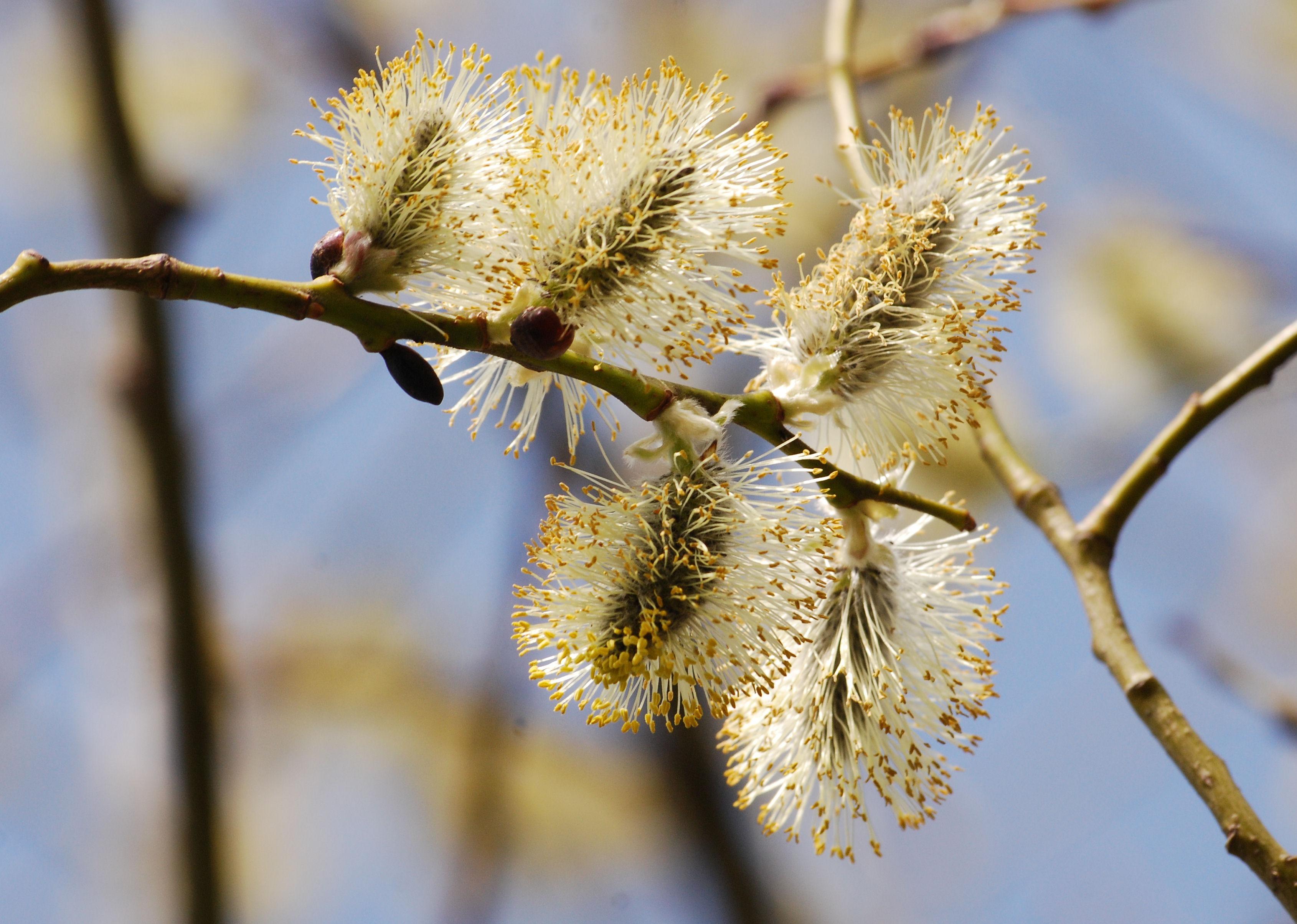 принято весна верба цветет весёлых новогодних