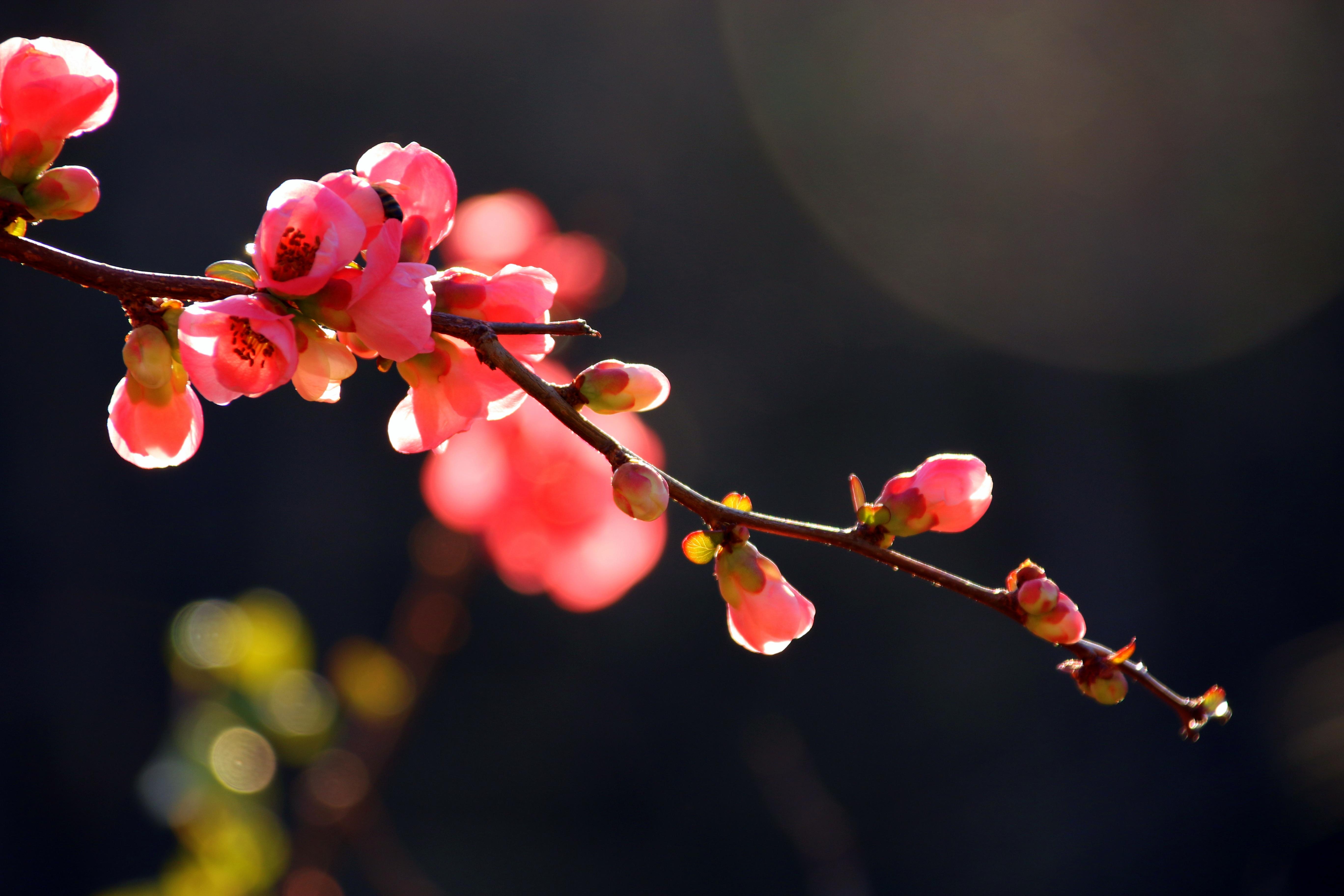 images gratuites arbre la nature branche fleur hiver ciel la photographie fruit. Black Bedroom Furniture Sets. Home Design Ideas