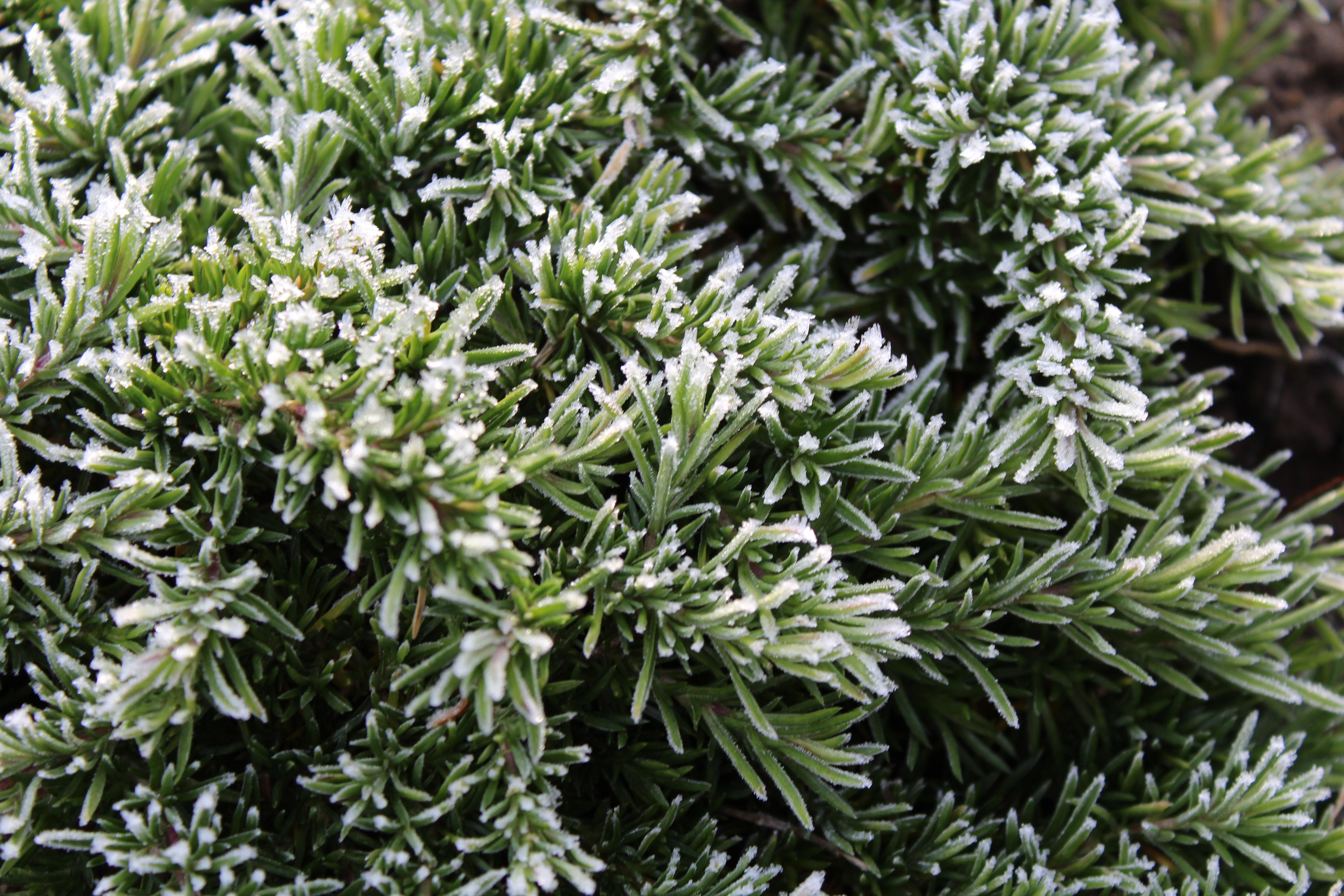 for Arbustos de hoja perenne resistentes al frio