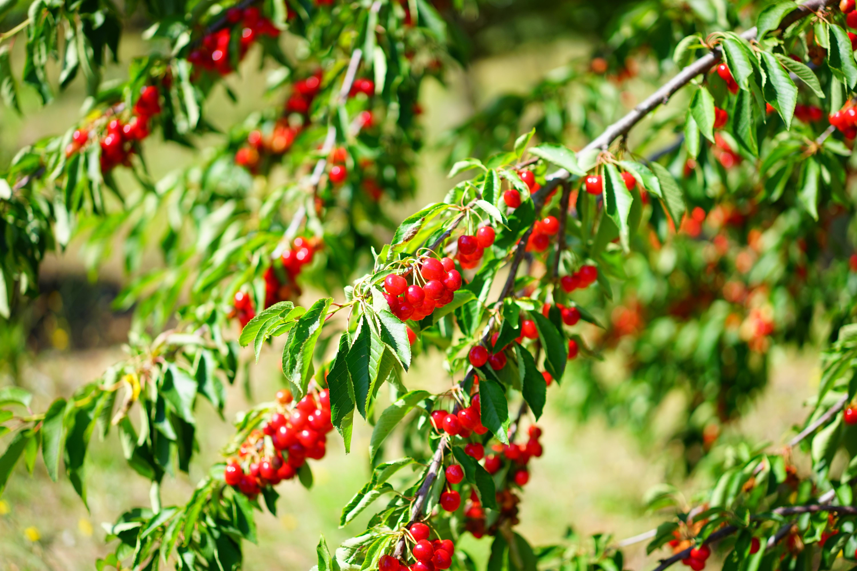 Fotos gratis rbol naturaleza rama fruta baya hoja for Arbol rojo jardin