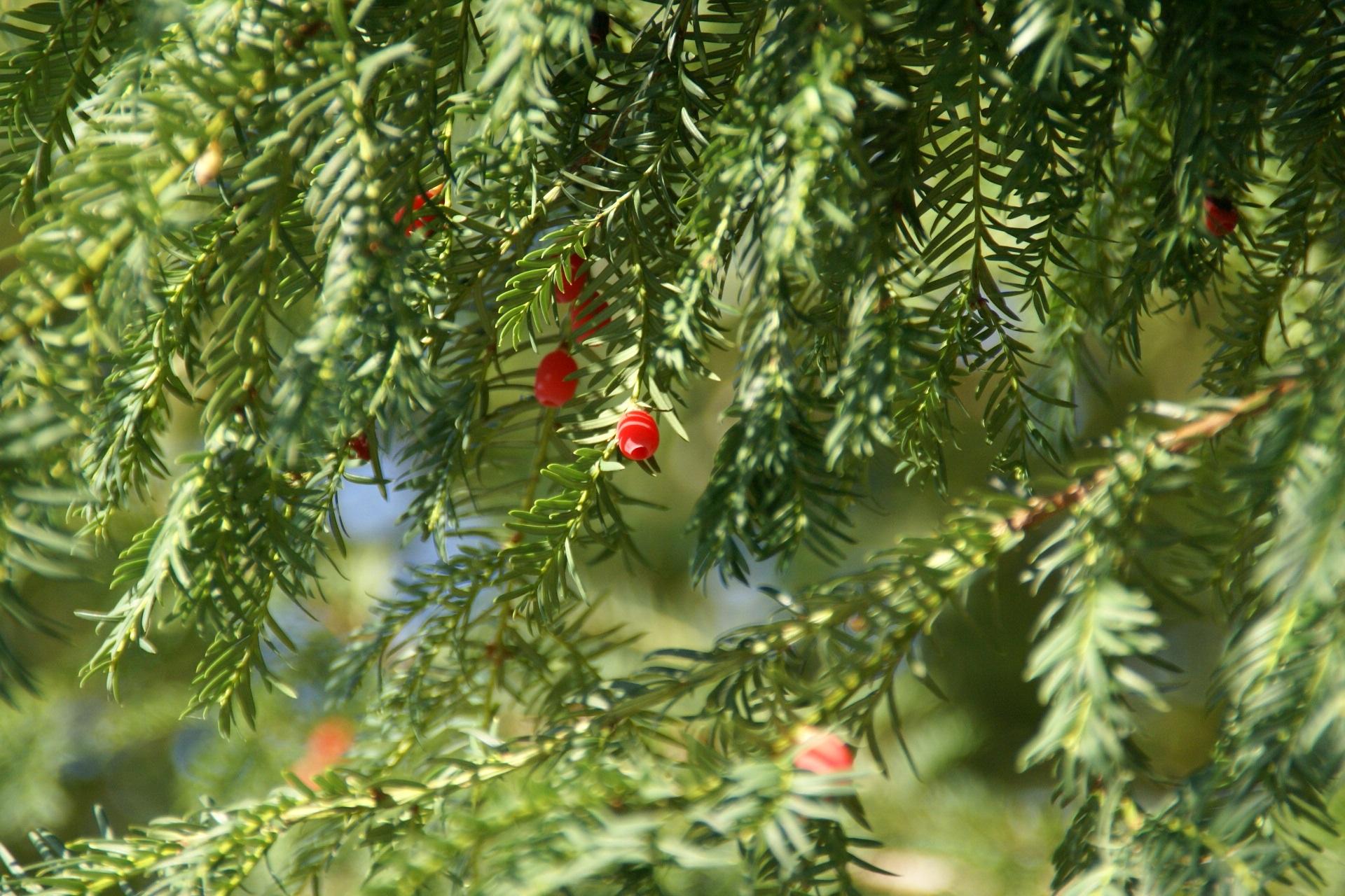 Images gratuites la nature branche plante fruit for Plante noel rouge