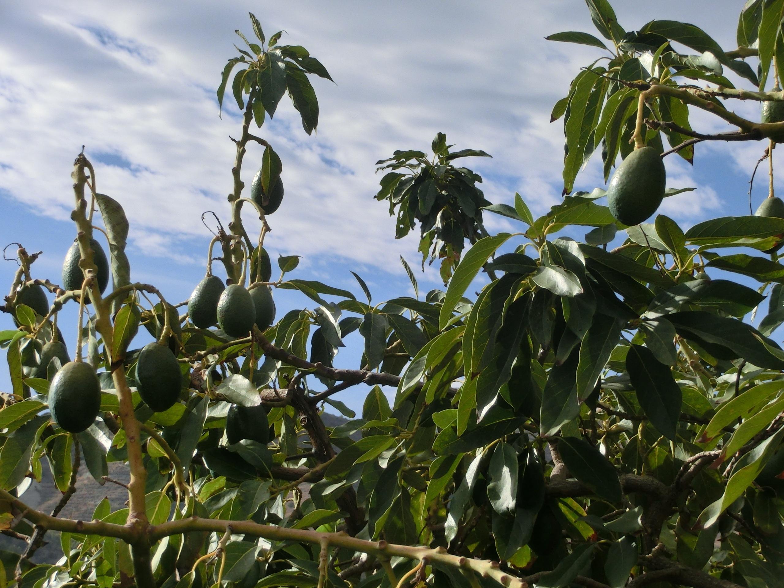 images gratuites : arbre, la nature, branche, fruit, fleur, aliments