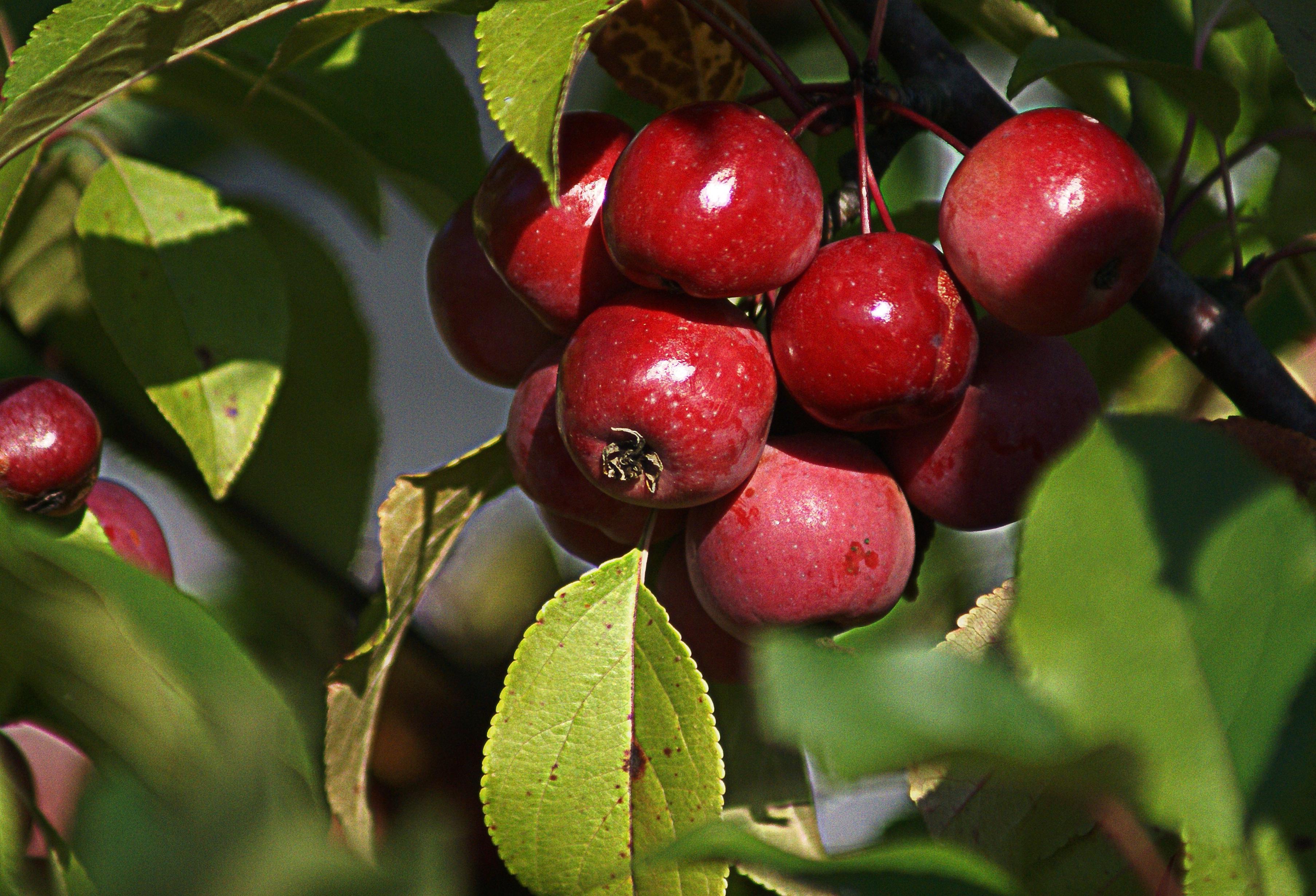 Fotos gratis rbol naturaleza rama fruta flor for Frutas ornamentales