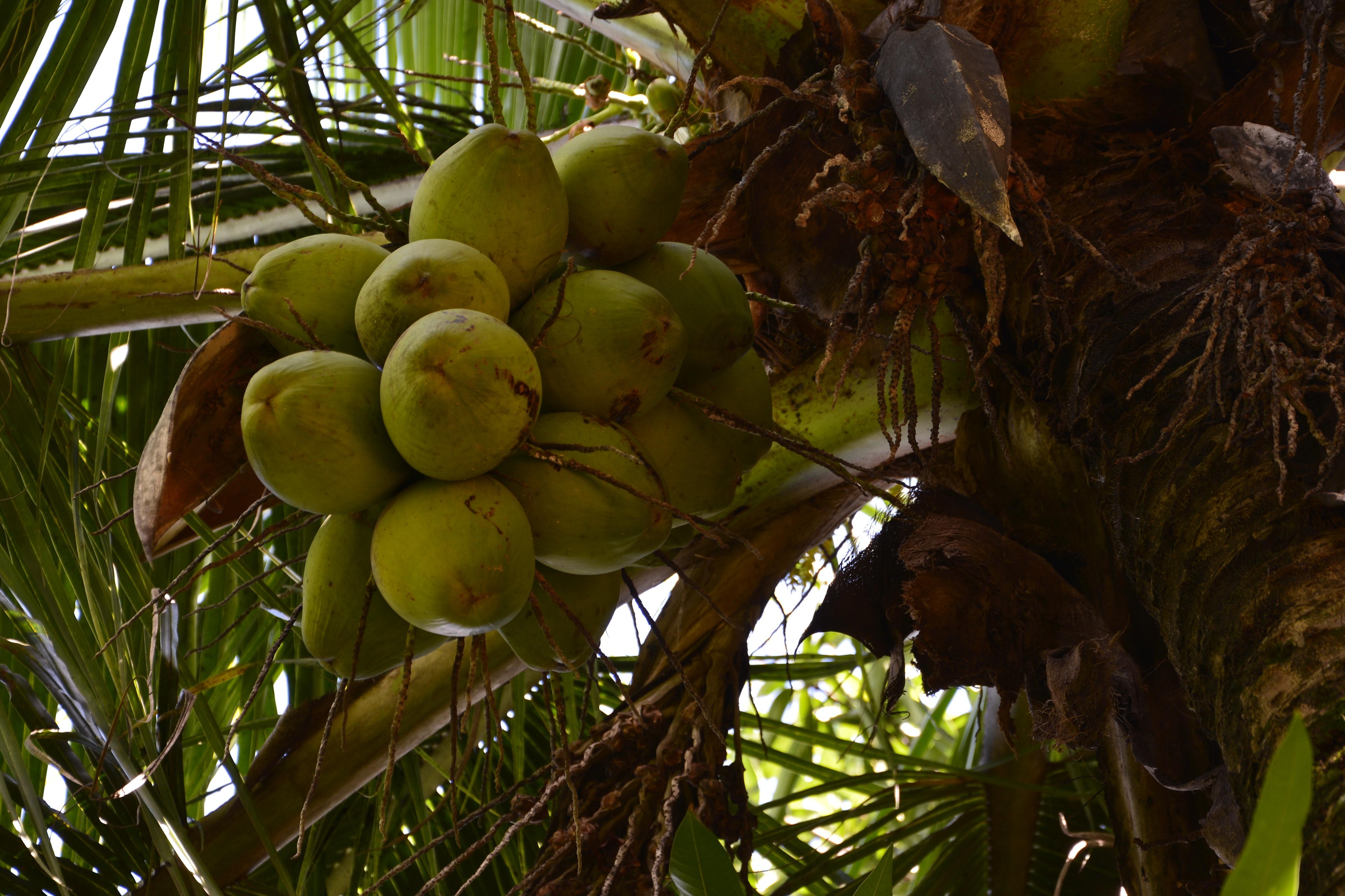 народной картинки где растут кокосы утверждают