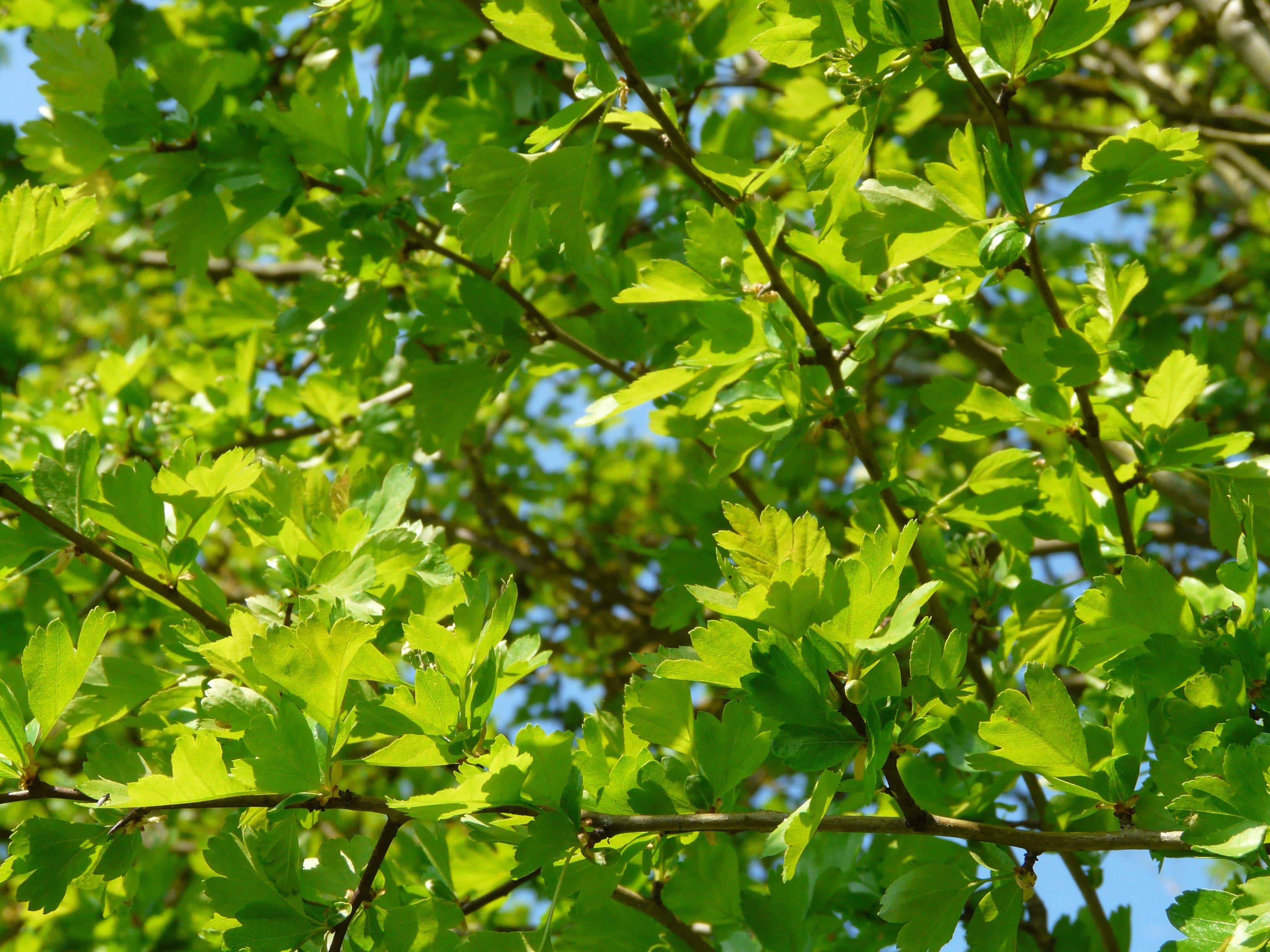 Fotos gratis naturaleza rama fruta hoja flor for Quercia sempreverde