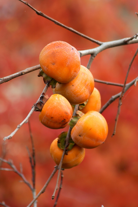 Garden Bush: Free Images : Tree, Nature, Branch, Fruit, Leaf, Flower