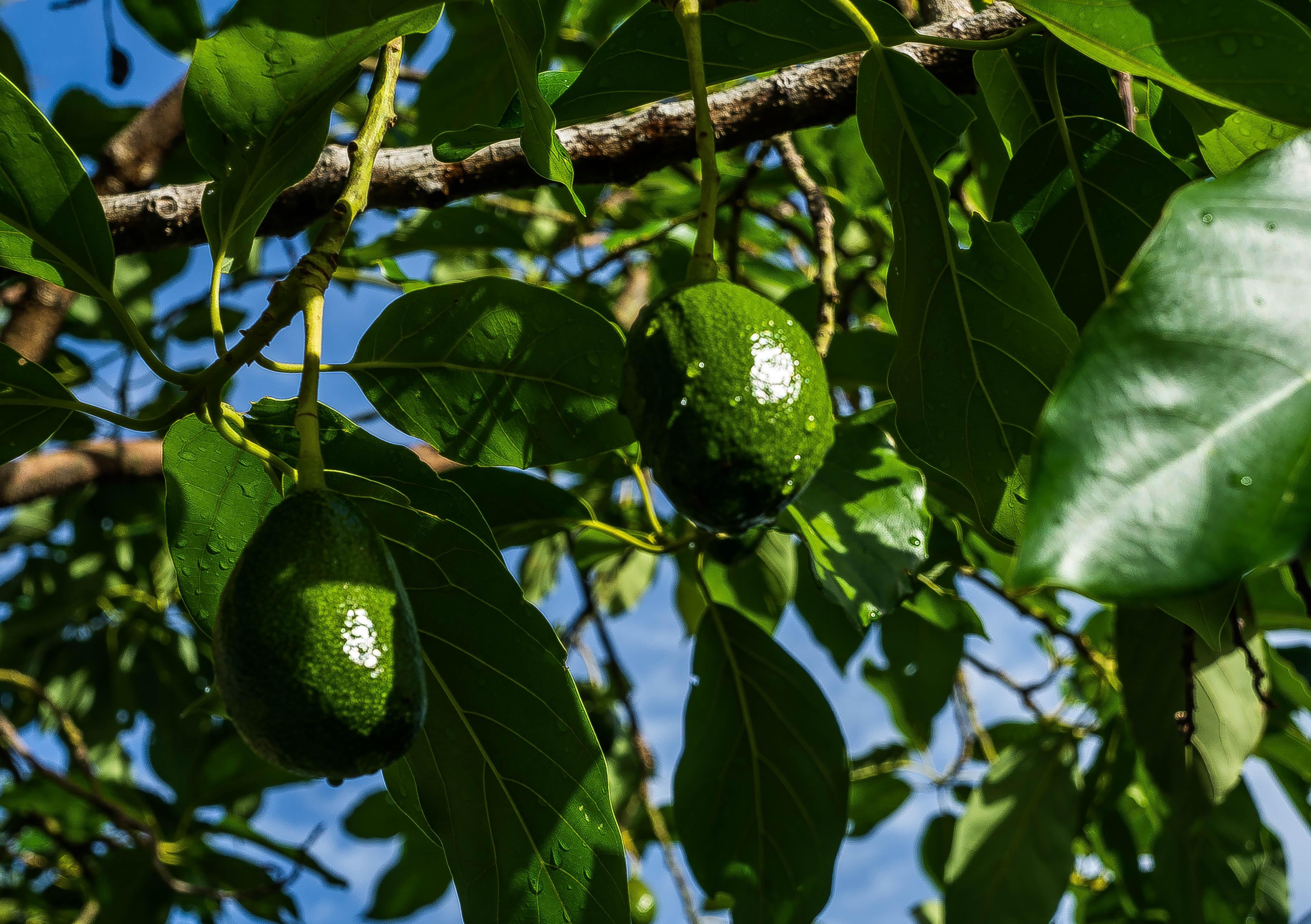 images gratuites : arbre, la nature, branche, fruit, feuille, fleur