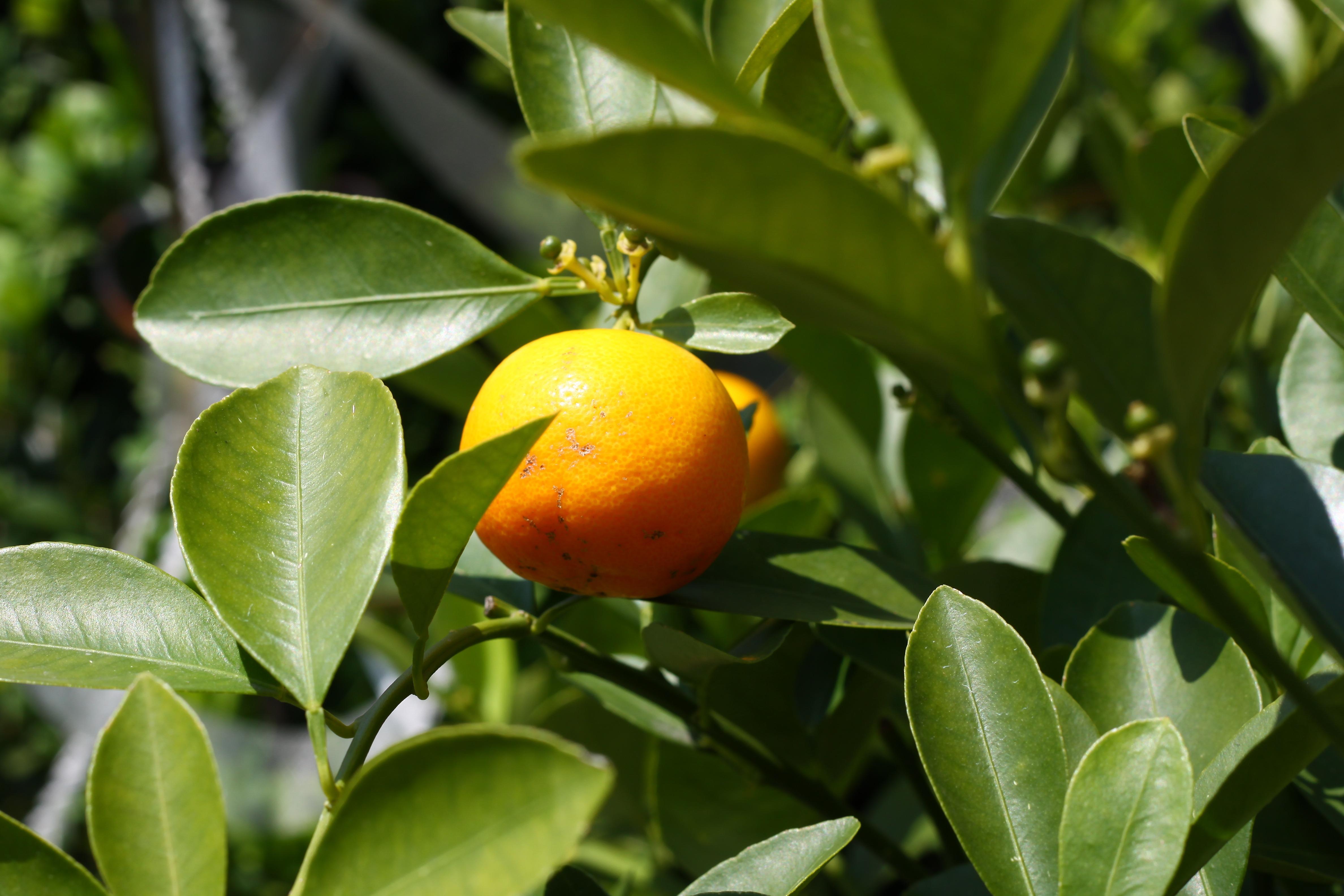 Gratis billeder natur afdeling frugt blad blomst for Plante orange