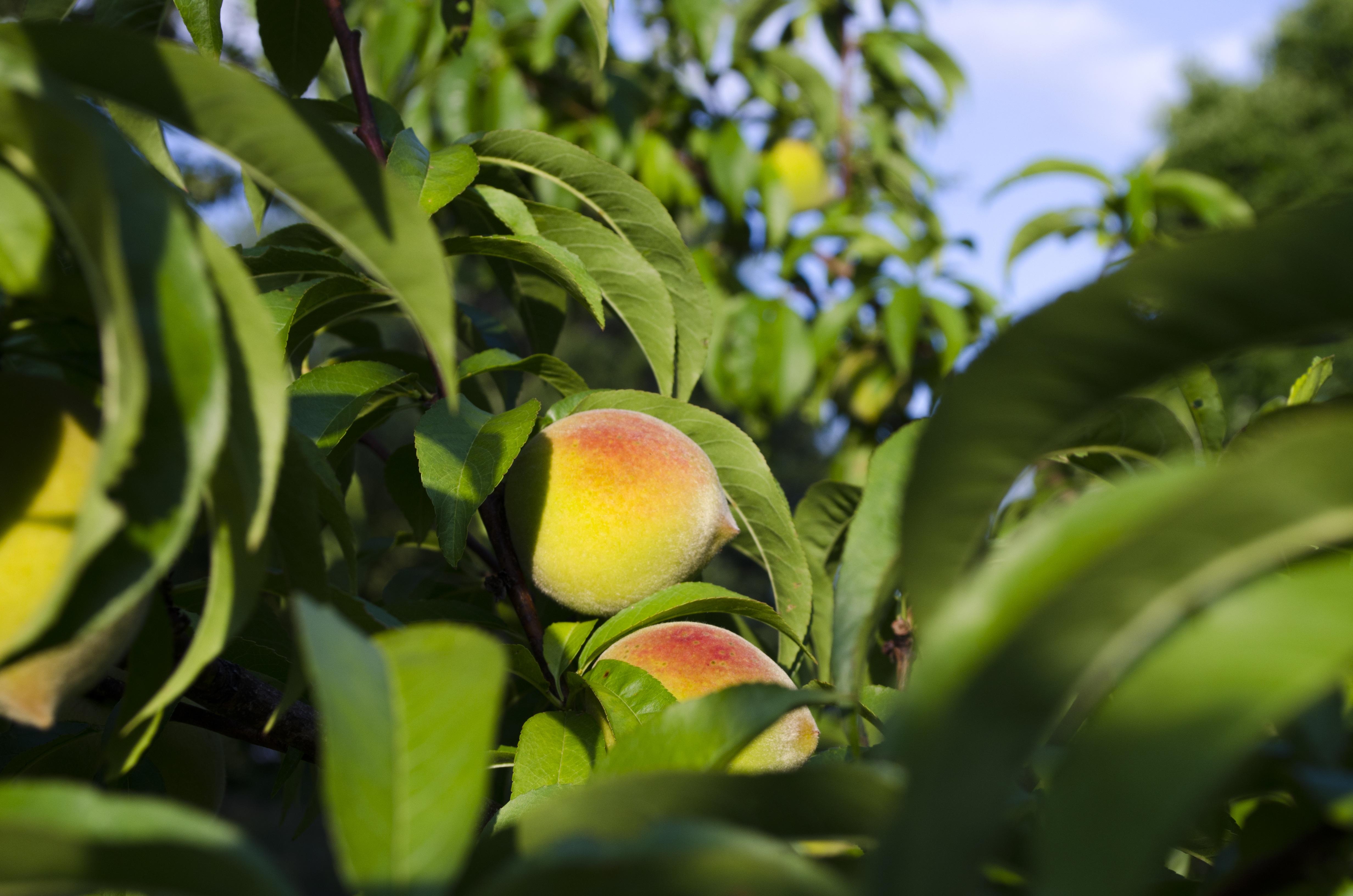Fotos gratis rbol naturaleza rama fruta hoja flor for Arboles para plantar en verano