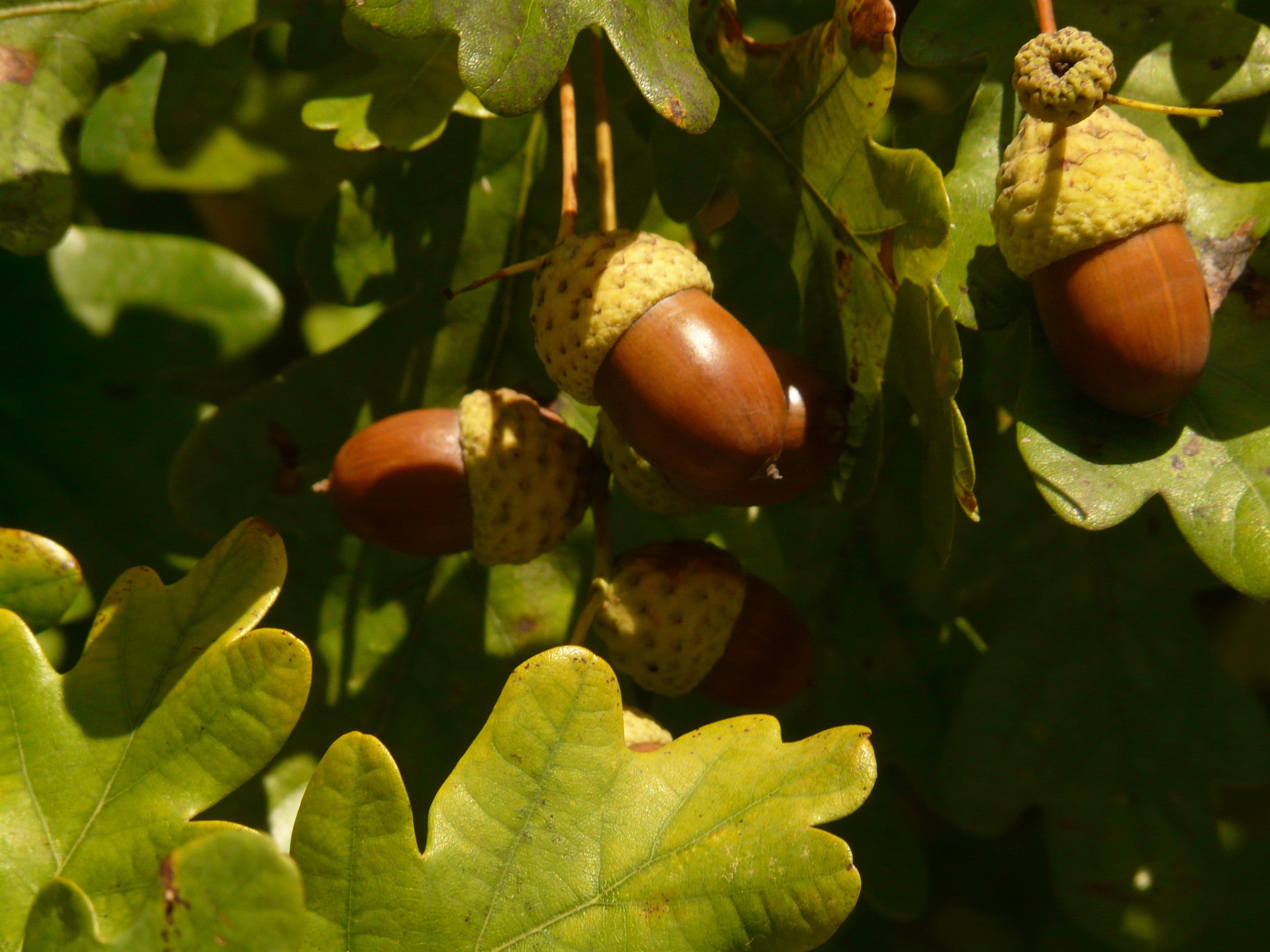 hình ảnh : thiên nhiên, chi nhánh, thực vật, trái cây, Ánh sáng mặt trời,  món ăn, màu xanh lá, Sản xuất, Mùa thu, Thực vật học, Hệ thực vật, Acorn,  ...
