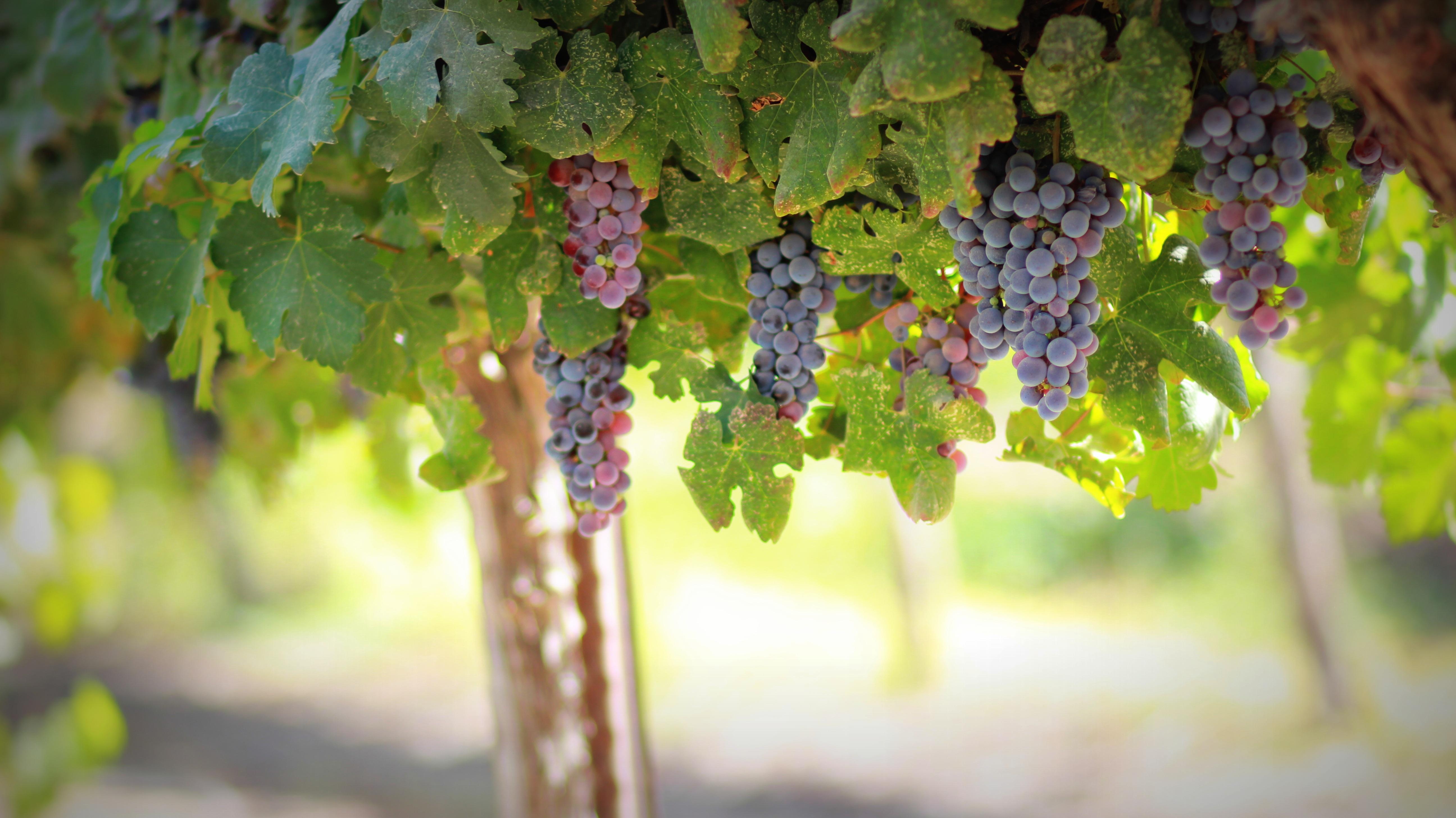 Free Images Tree Nature Branch Grape Vine Vineyard