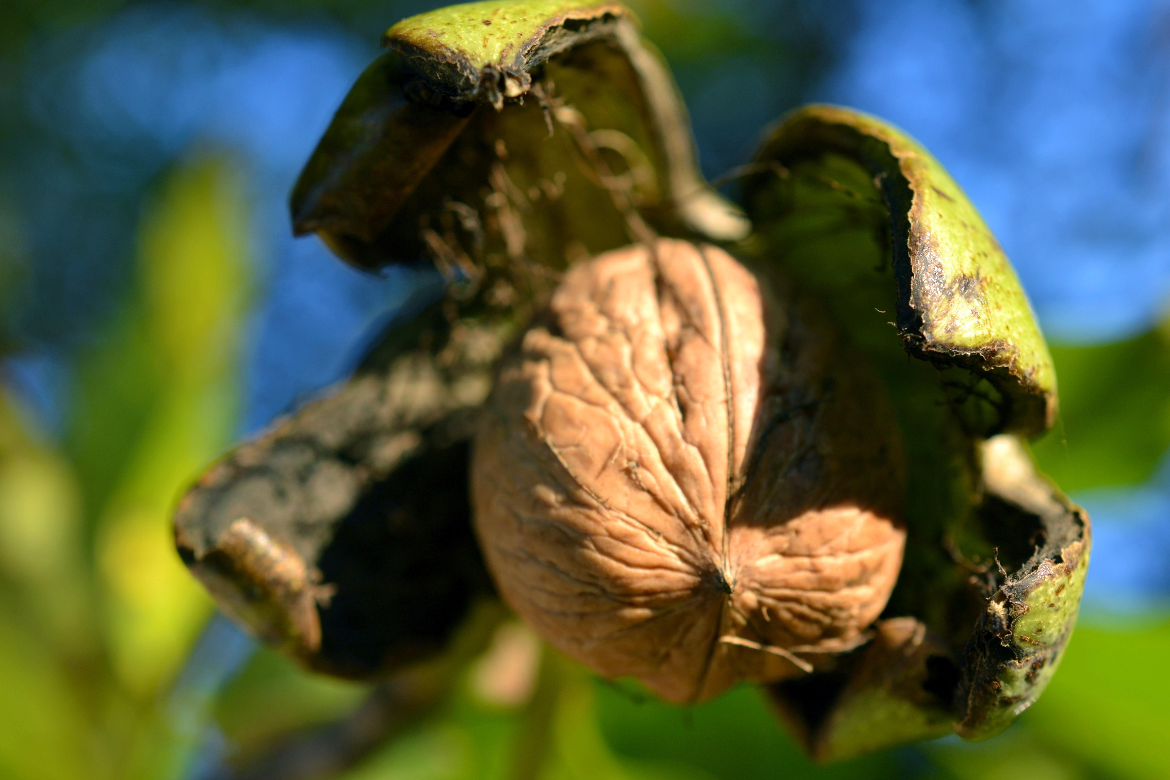 охотничьих орех листья картинки оставить волосы