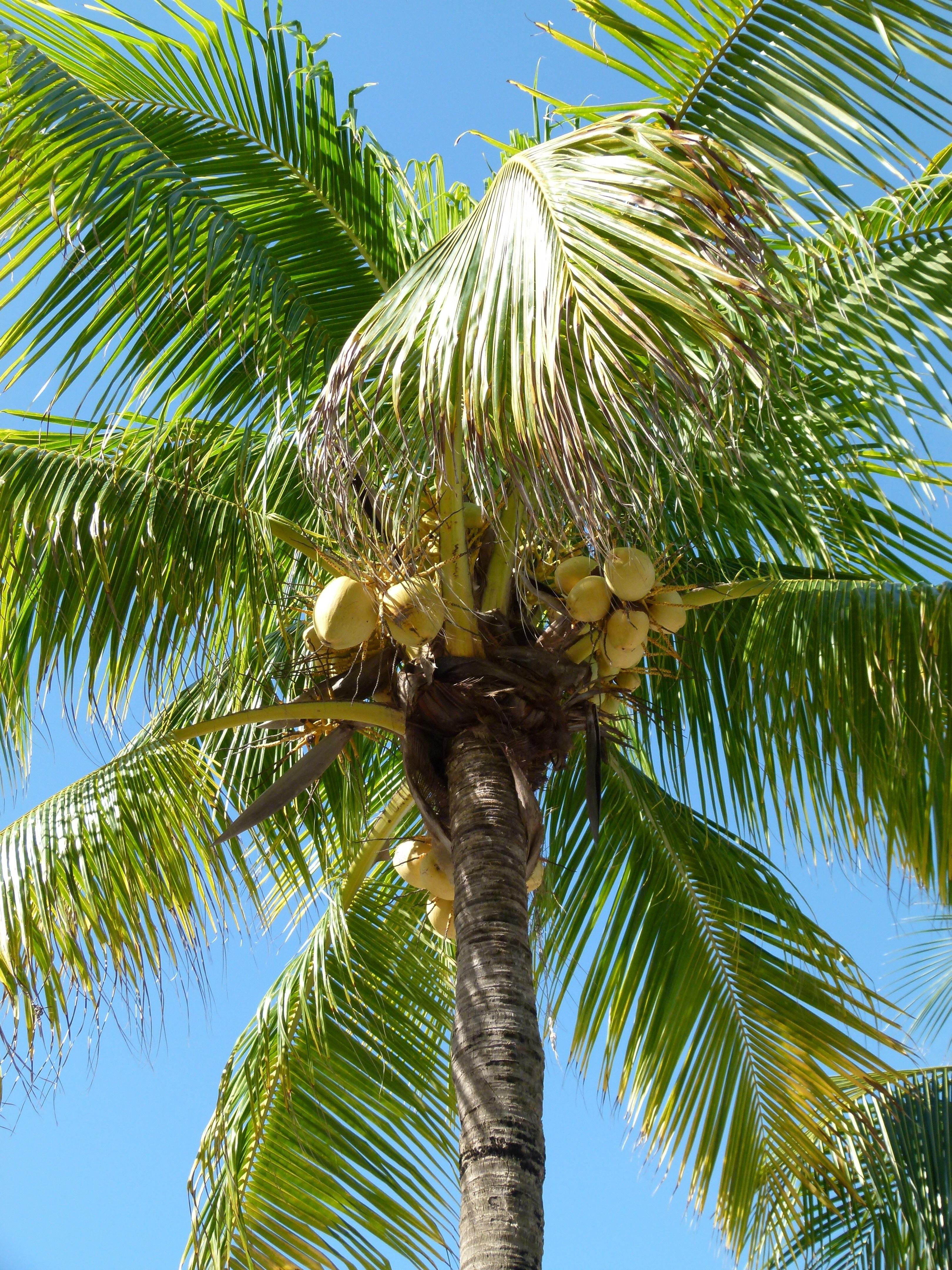 Images gratuites arbre la nature branche feuille fleur t aliments jungle paume - Arbre noix de coco ...