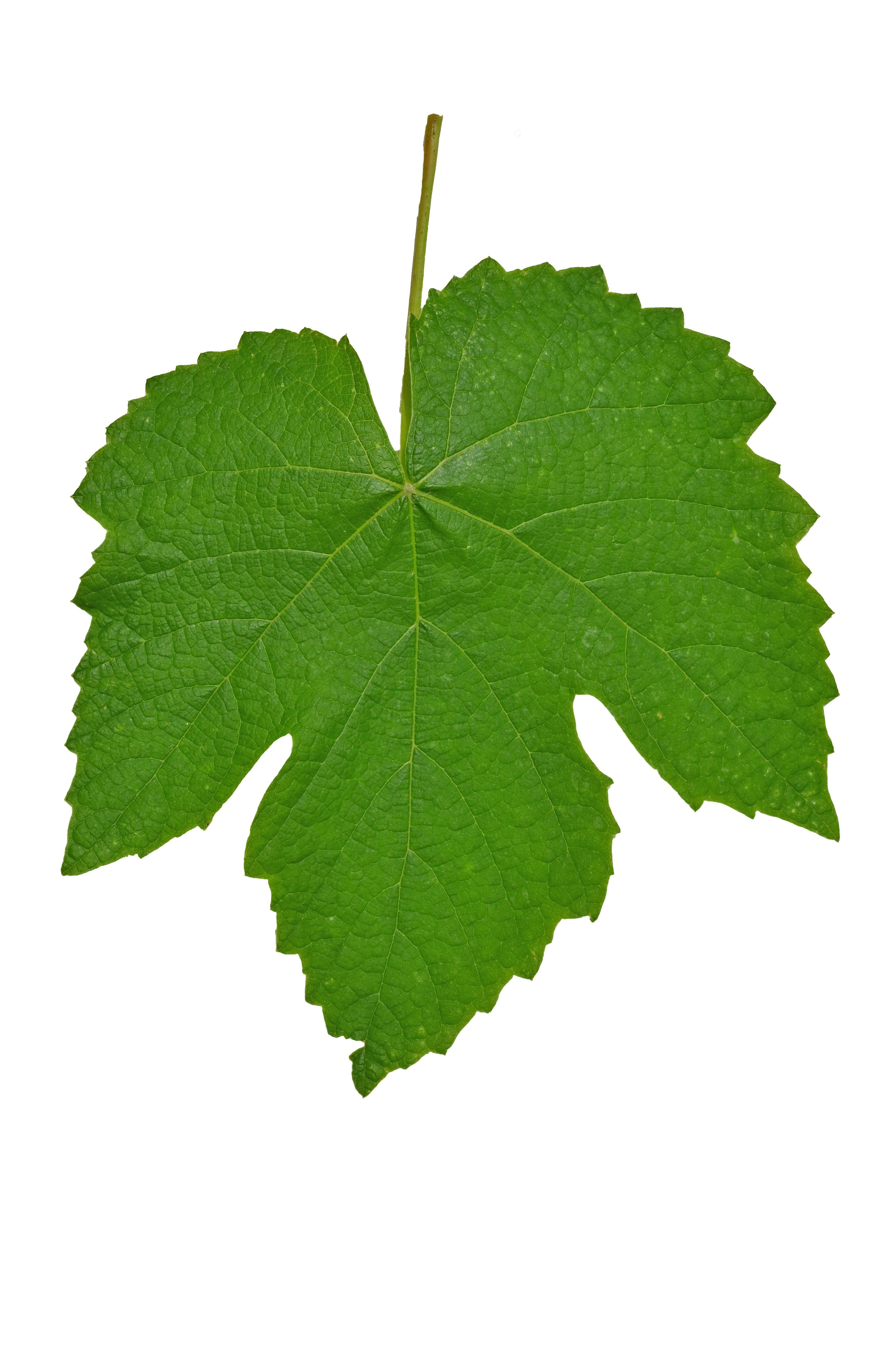 Fotos gratis naturaleza rama aislado verde produce for Aspiradora de hojas de jardin
