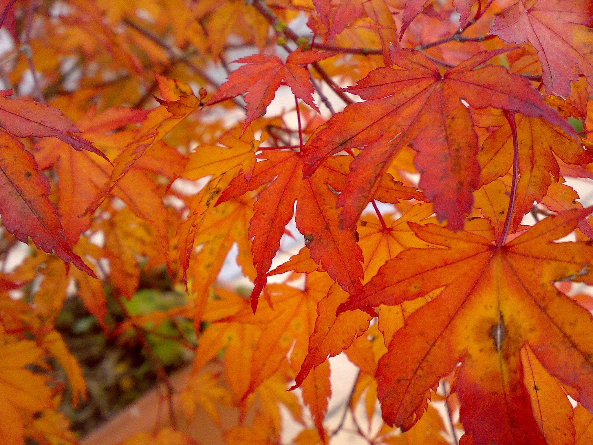 Super Images Gratuites : arbre, la nature, branche, rouge, Coloré  EZ33