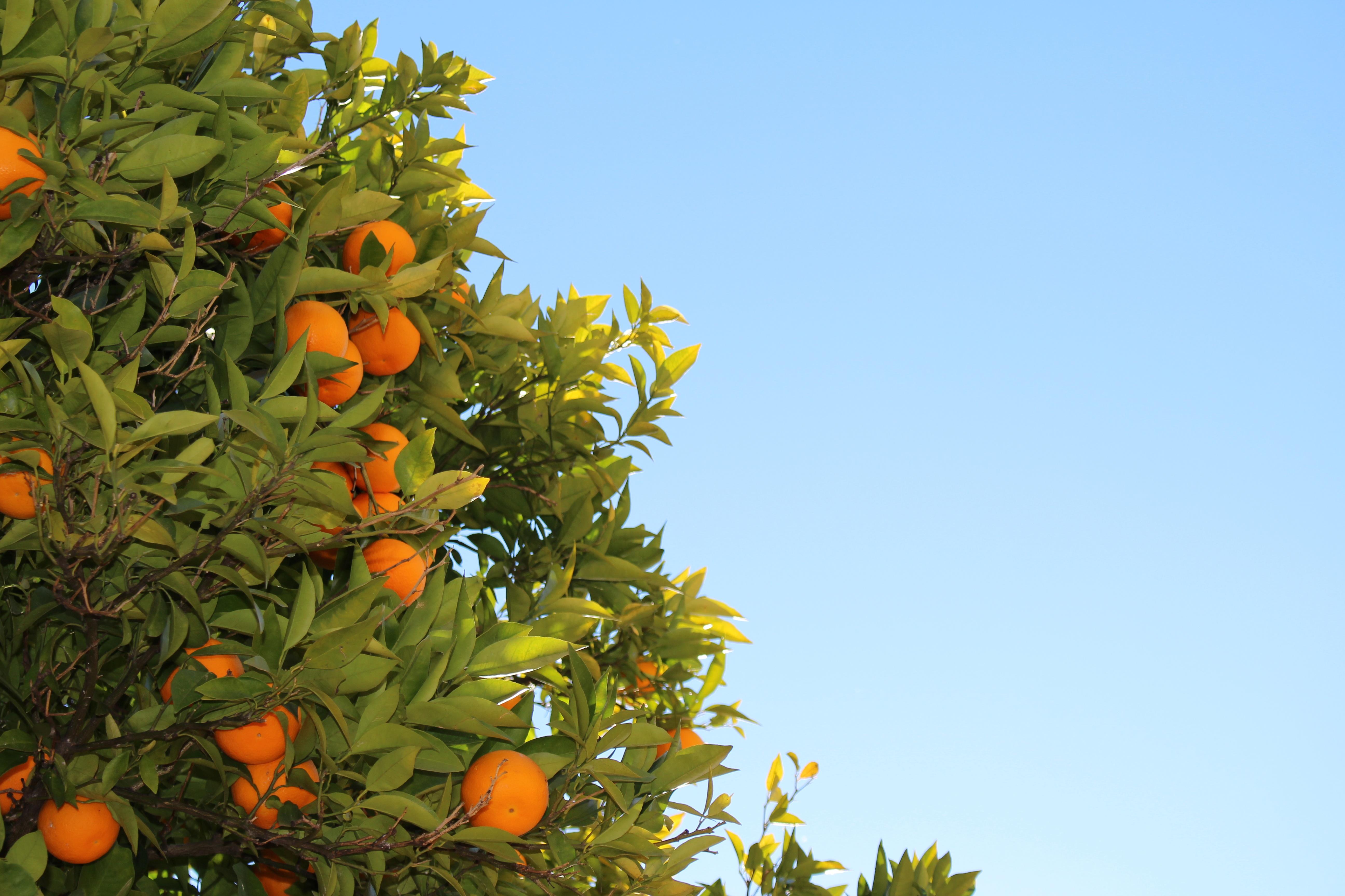 Обои для рабочего стола плодовые деревья