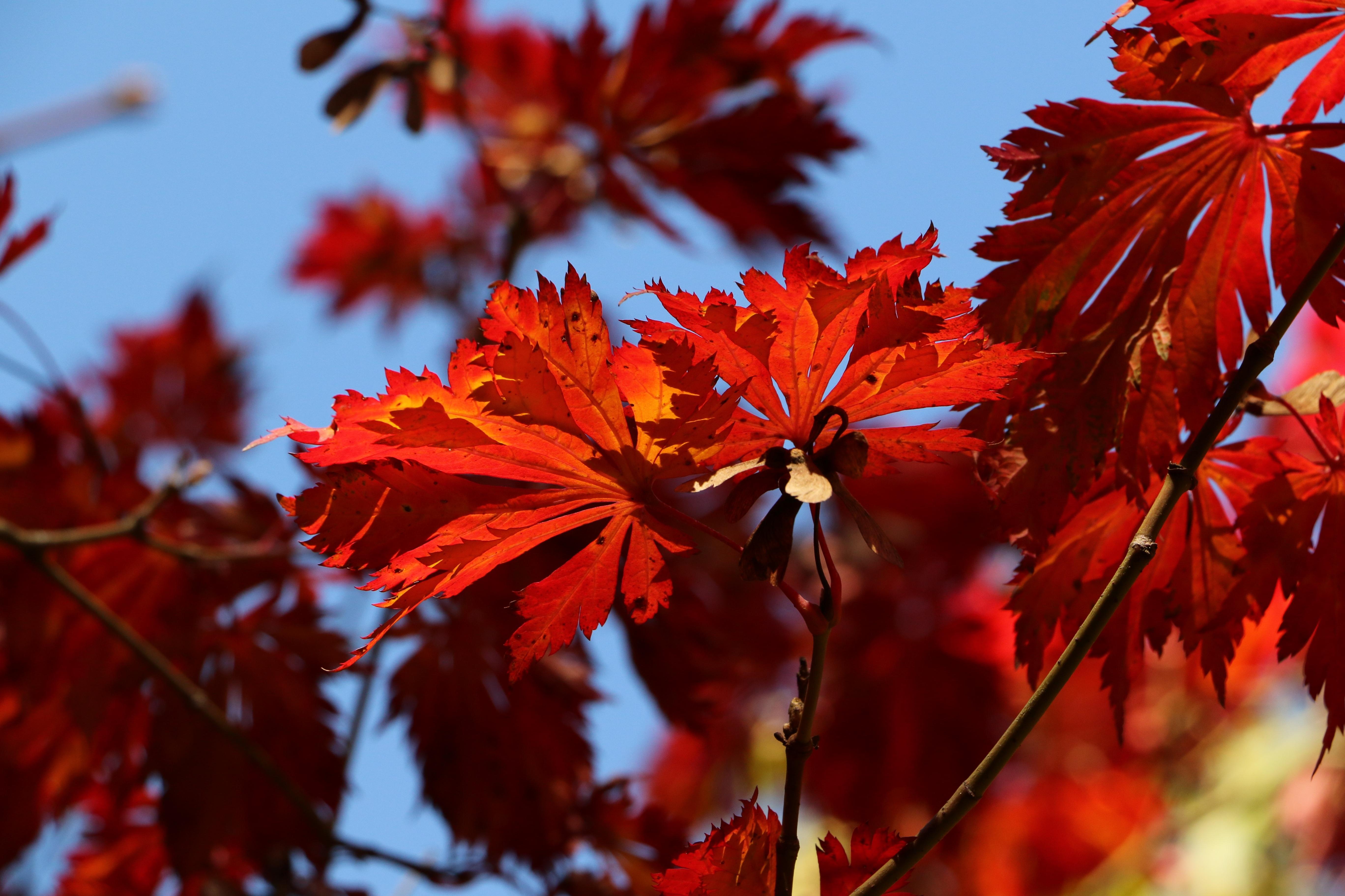 Осень картинки клен