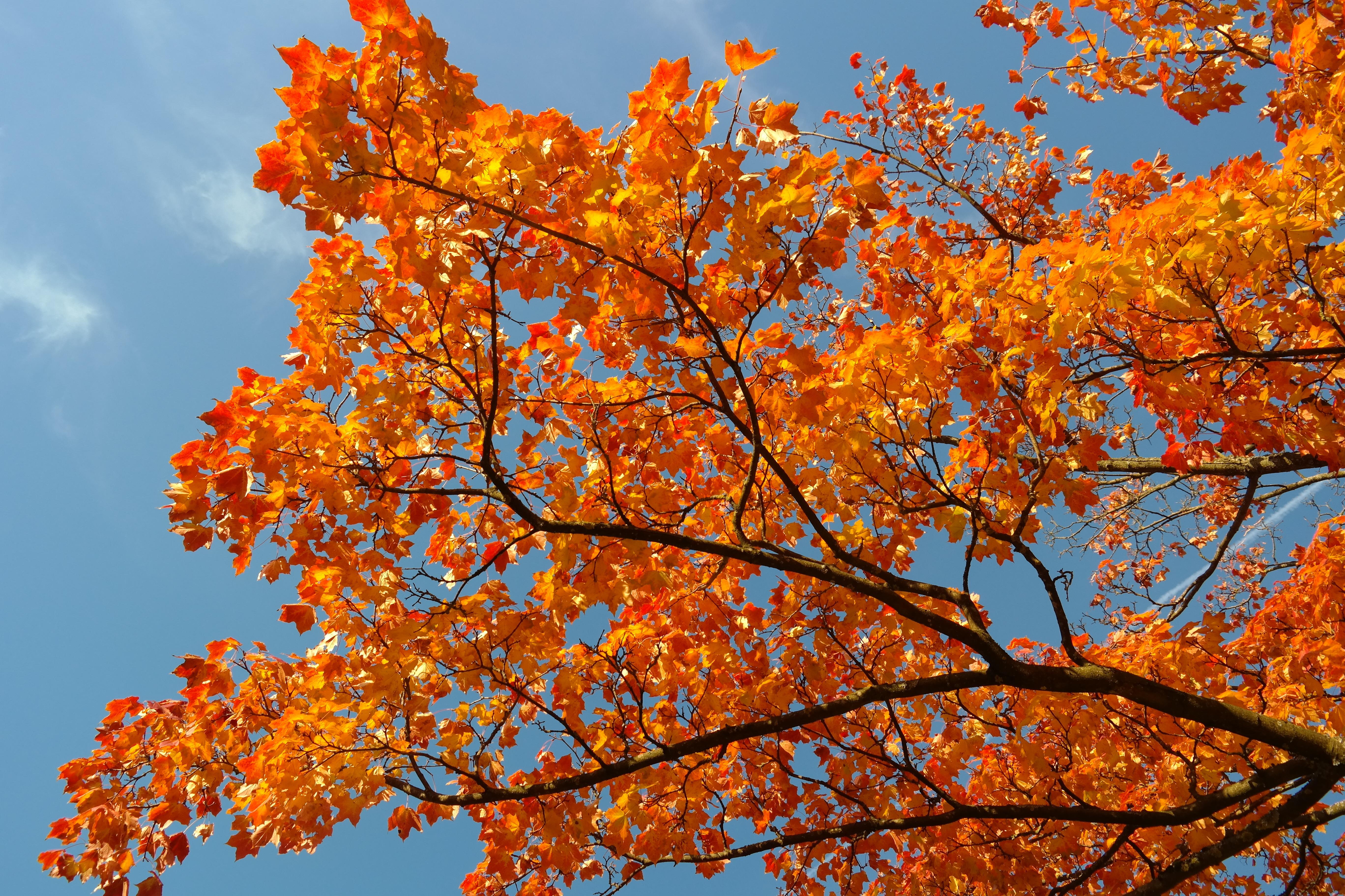 images gratuites arbre la nature branche ciel feuille fleur feuillage orange l 39 automne. Black Bedroom Furniture Sets. Home Design Ideas