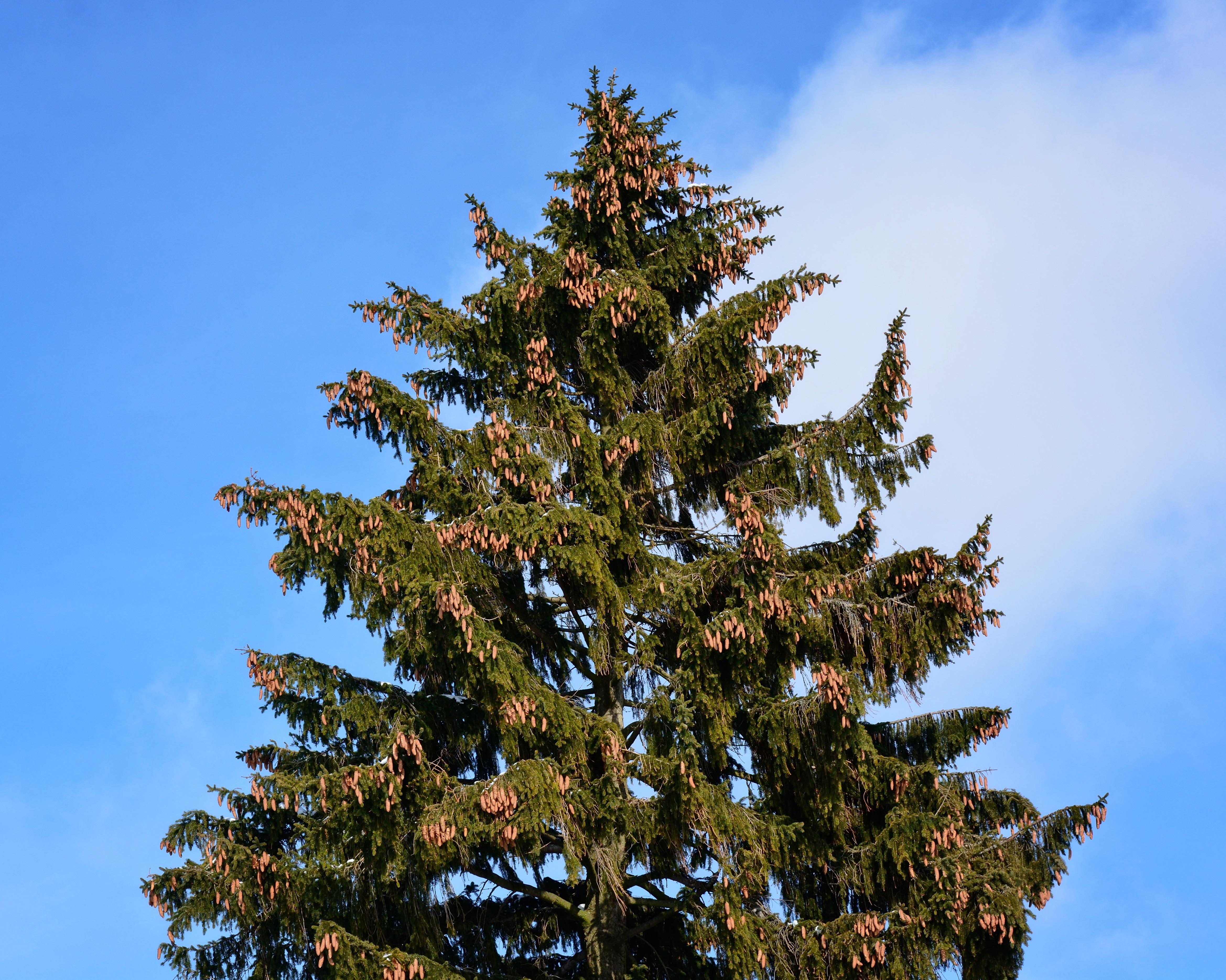 Free Images : Nature, Branch, Sky, Leaf, Evergreen, Botany