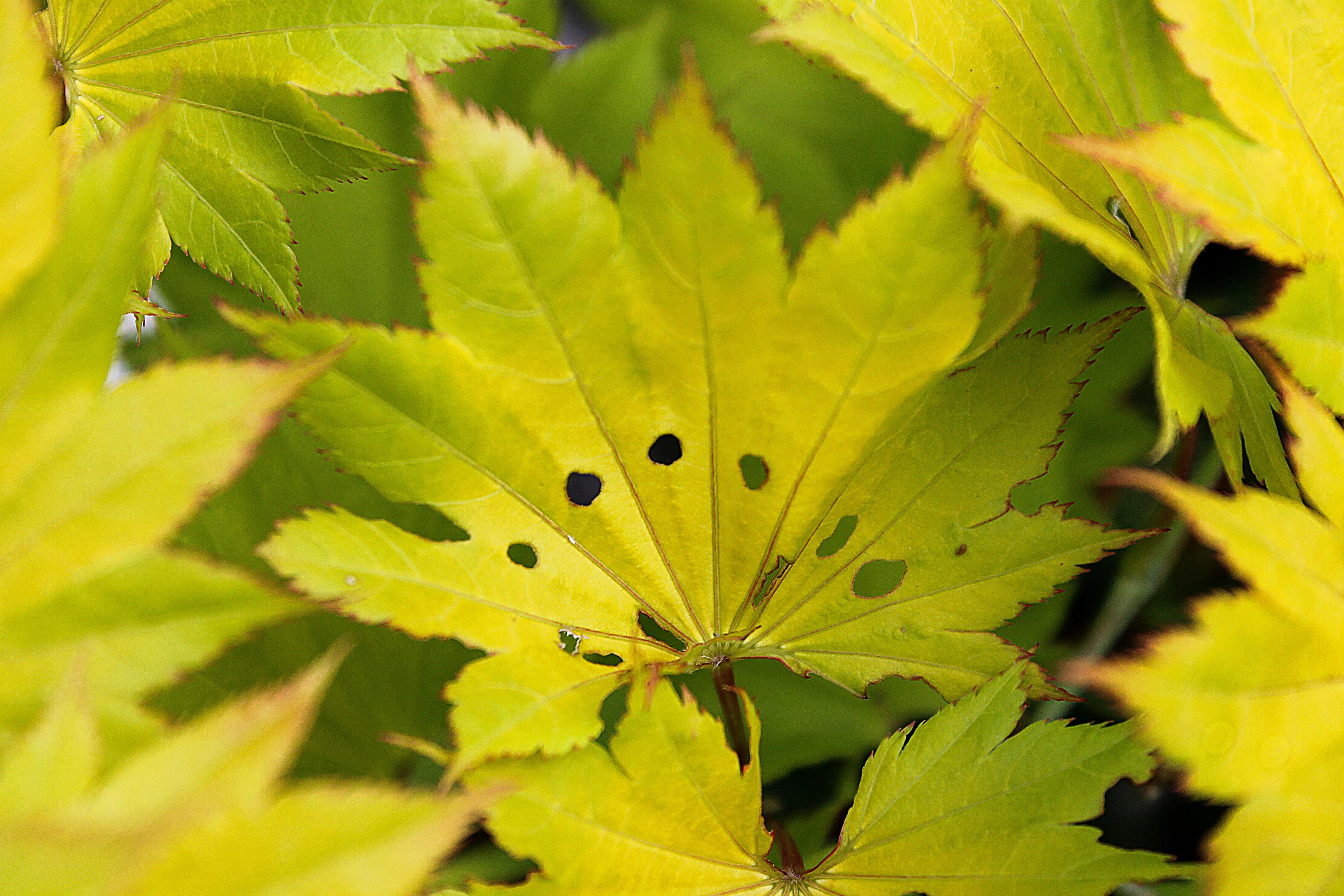 Erable jaune trendy feuilles durable rouges sur un fond jaune banque duimages with erable jaune - Arbuste japonais fleur jaune ...