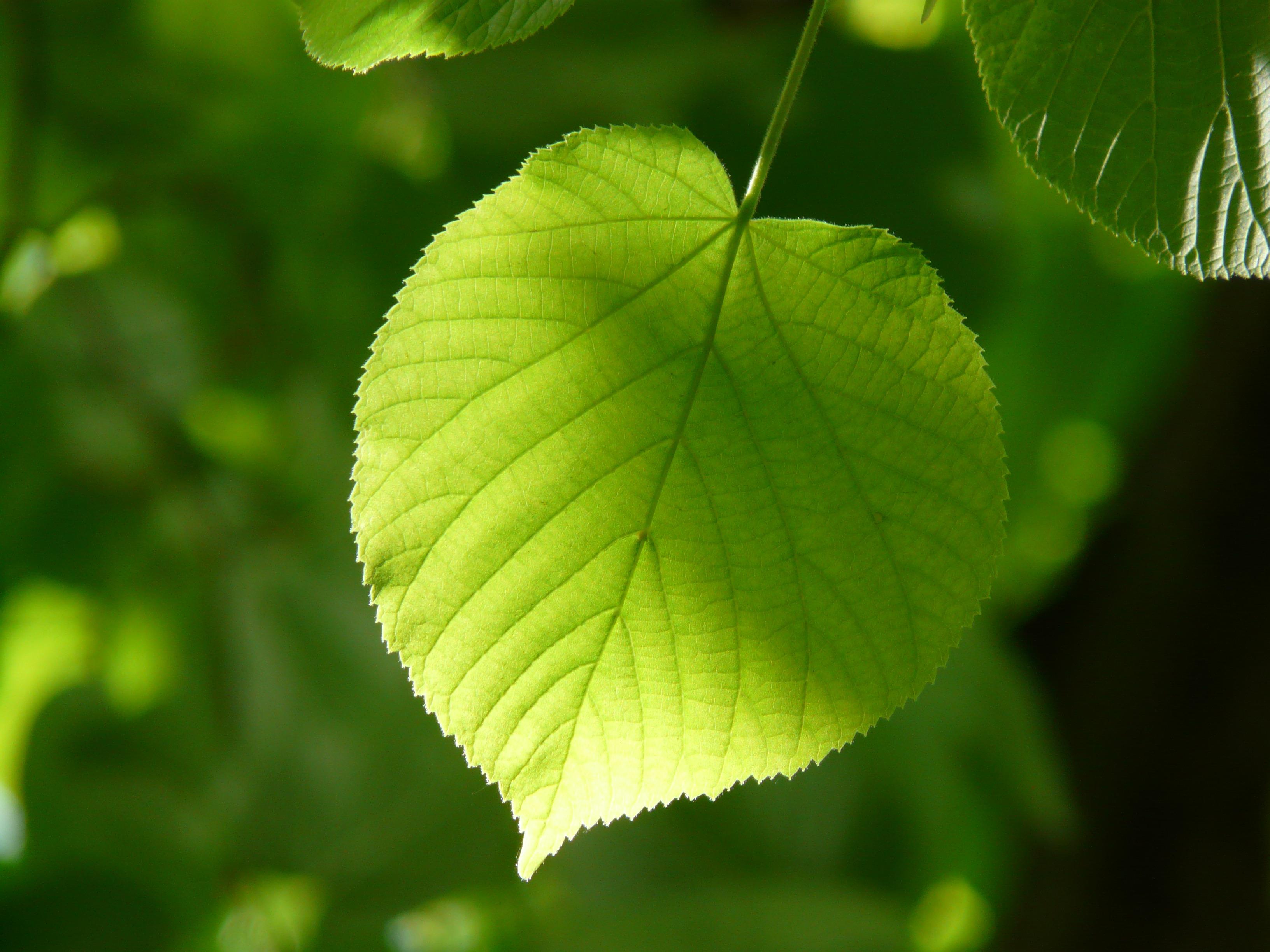 общественных местах листья липа в картинках катом несколько