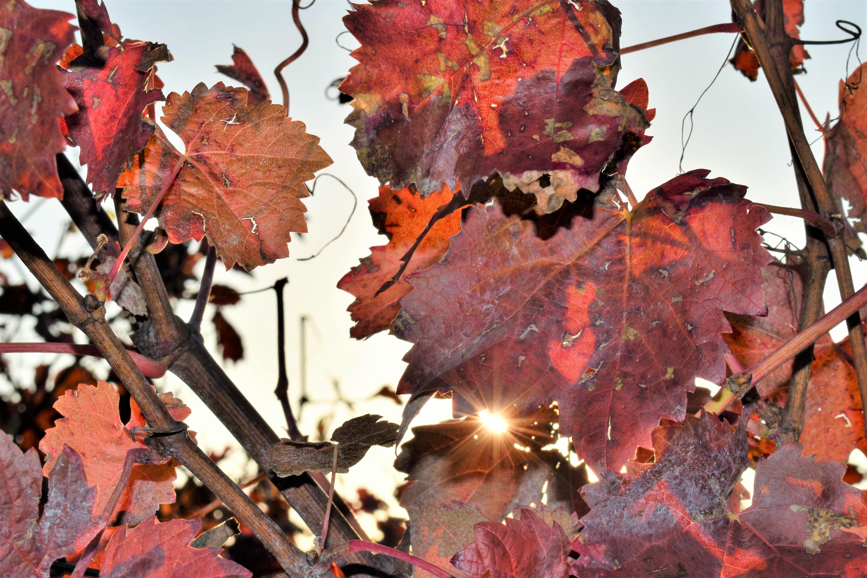 Fotos gratis : naturaleza, rama, vid, viñedo, vino, flor, primavera ...