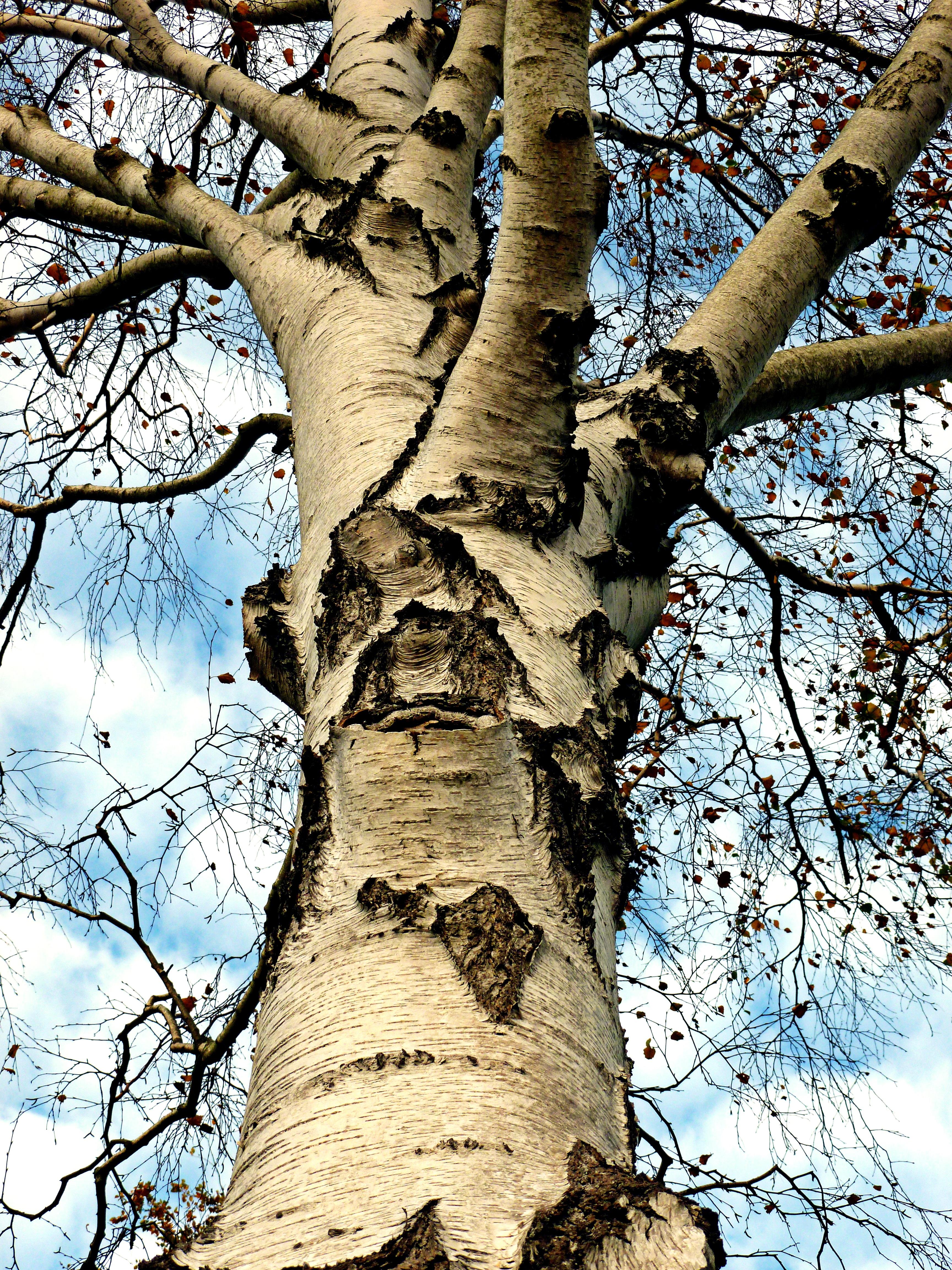 Fotos gratis : naturaleza, rama, madera, flor, el maletero, ladrar ...