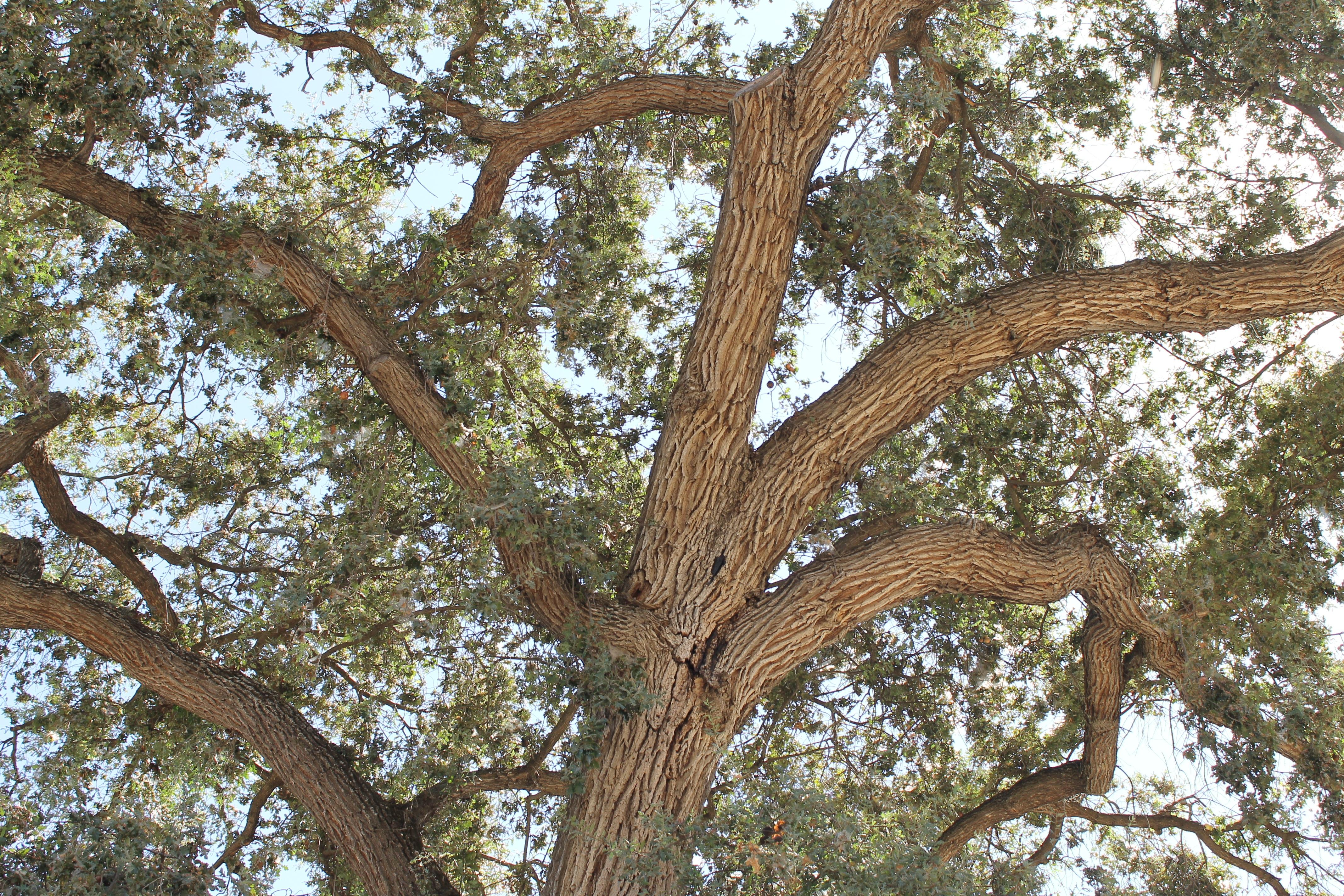 Oak Wood Branches ~ 무료 이미지 자연 분기 목재 잎 트렁크 여름 녹색 생기게 하다 정원 이파리 가지
