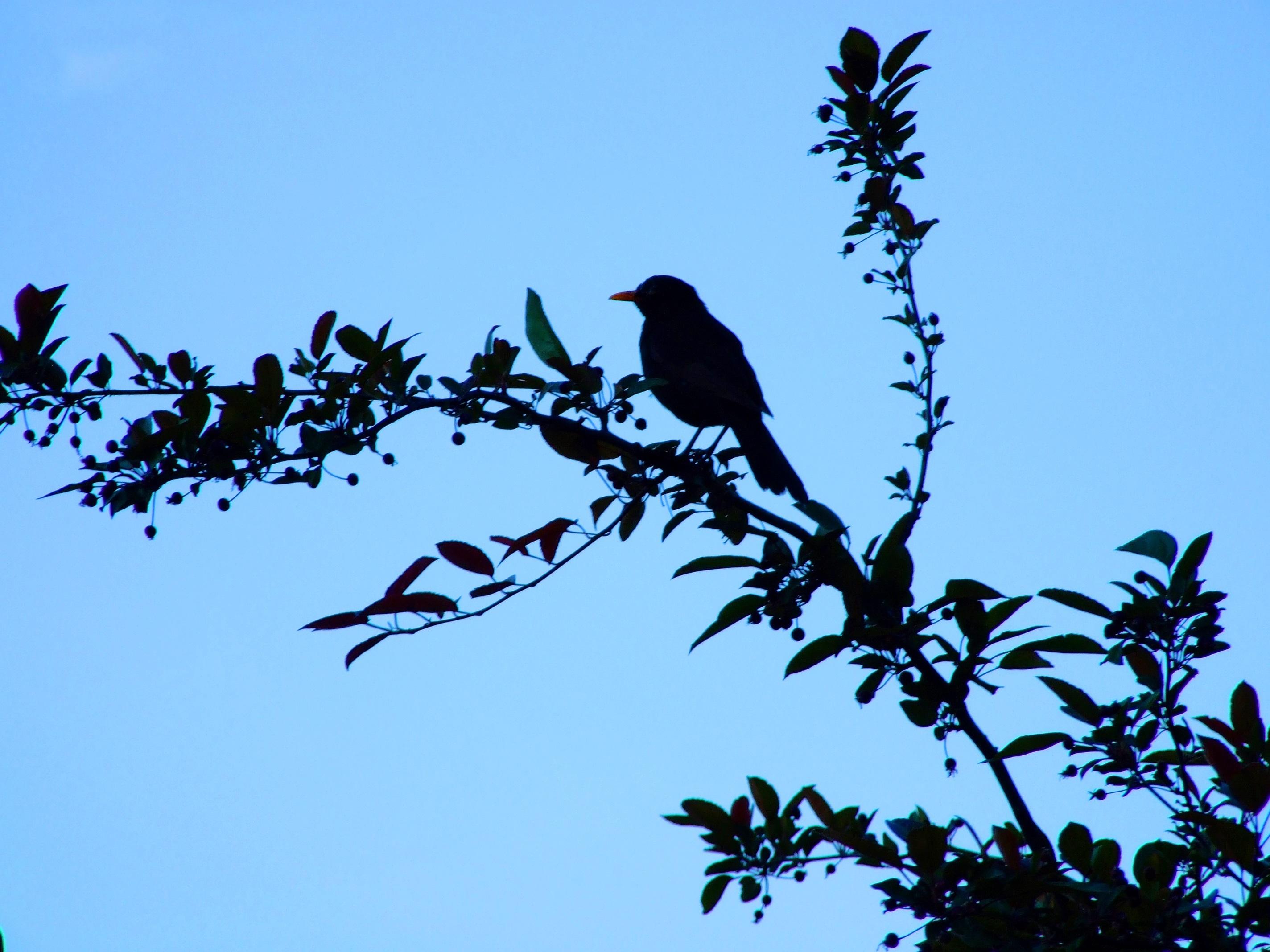 Μαύρο πουλί σεξ