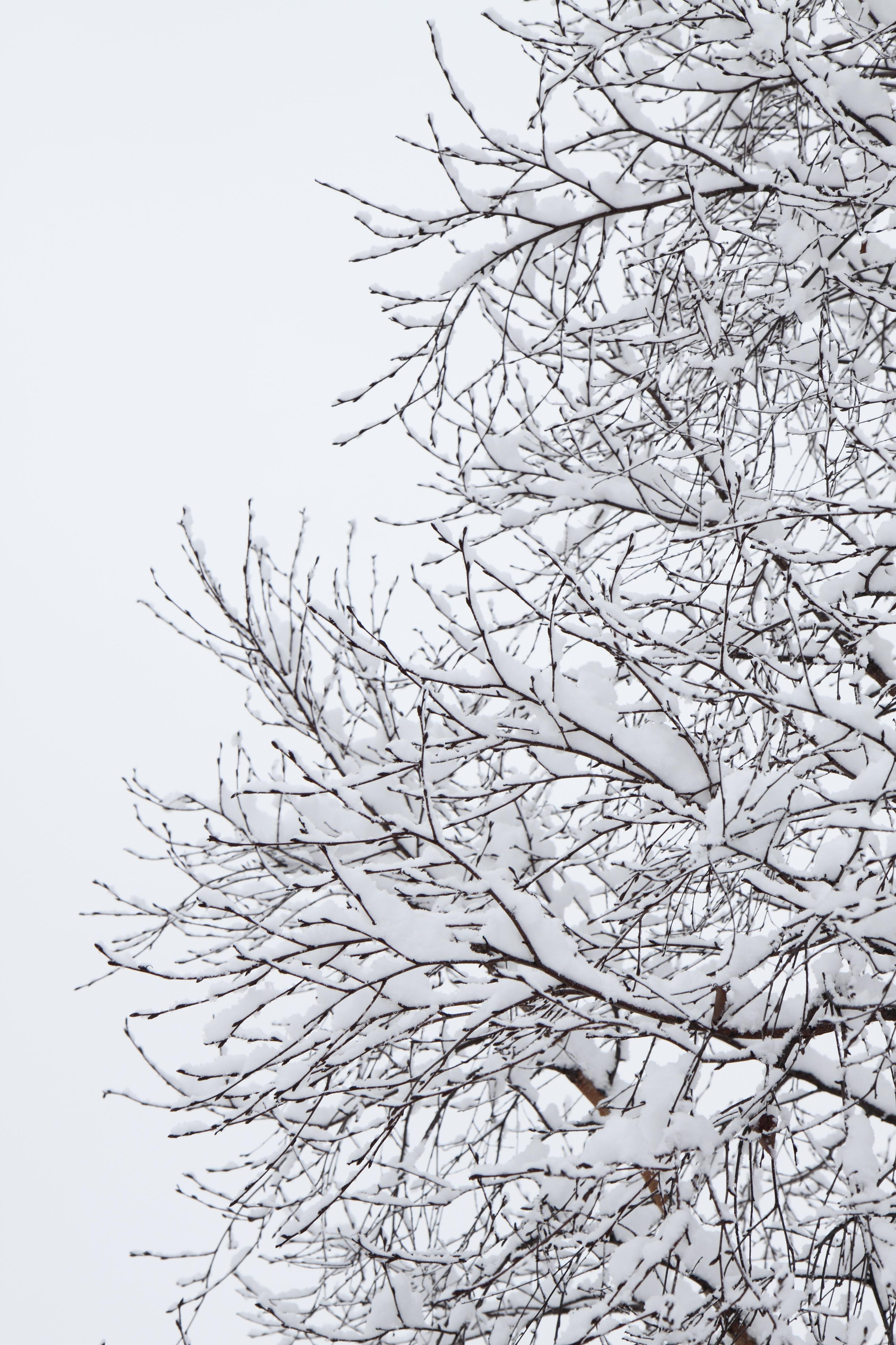 Images gratuites arbre la nature branche neige du for Couverture plante hiver