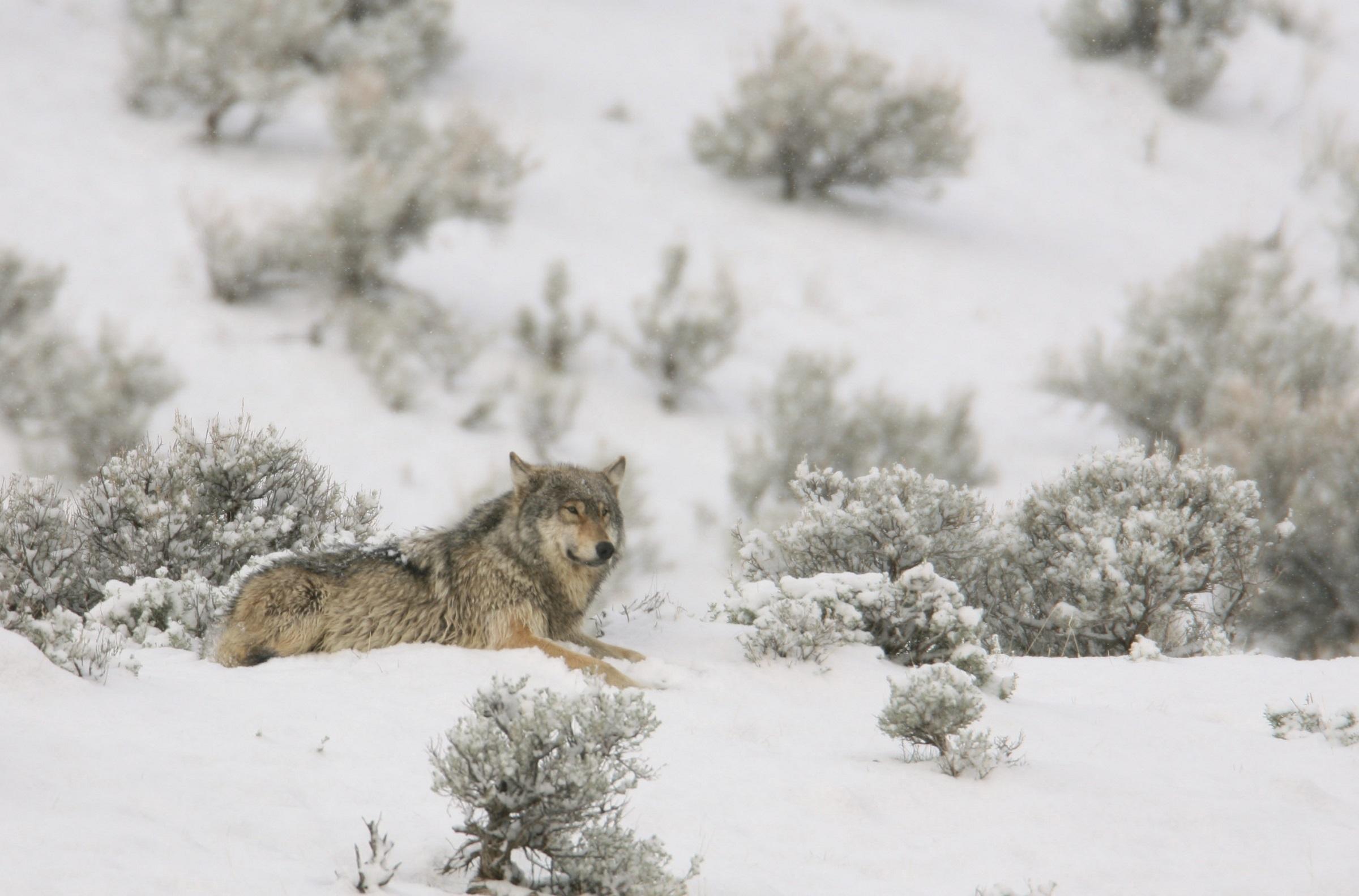 2a7b660ad45 Gratis billeder : træ, natur, afdeling, sne, kold, vinter, frost, leder,  dyreliv, vild, pels, portræt, vejr, USA, pattedyr, ulv, rovdyr, egern,  prærieulv, ...