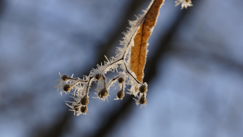 kostenlose foto baum natur ast schnee kalt winter fl gel pflanze holz wei. Black Bedroom Furniture Sets. Home Design Ideas