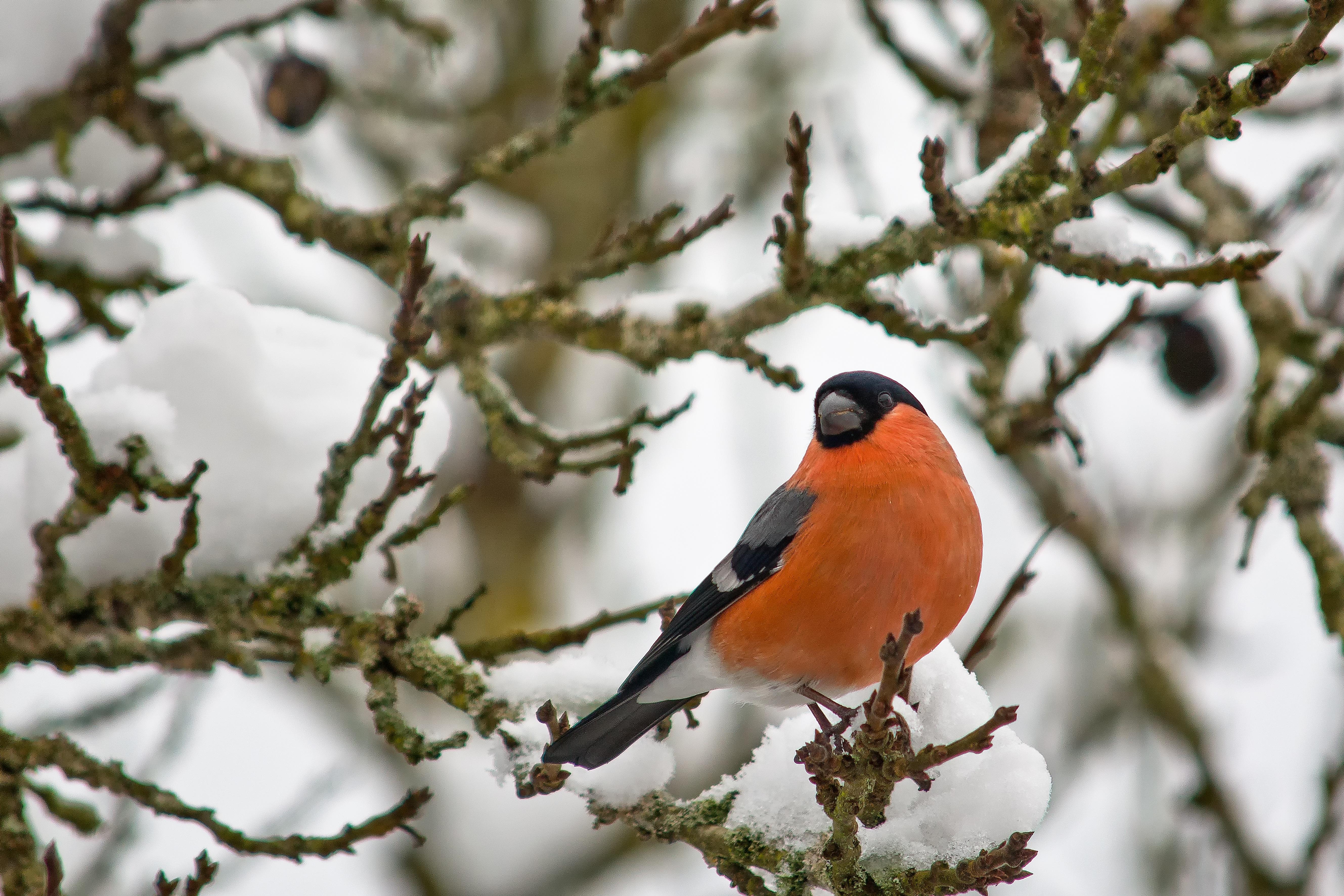 kostenlose foto baum natur ast schnee winter vogel blume tierwelt fr hling schnabel. Black Bedroom Furniture Sets. Home Design Ideas